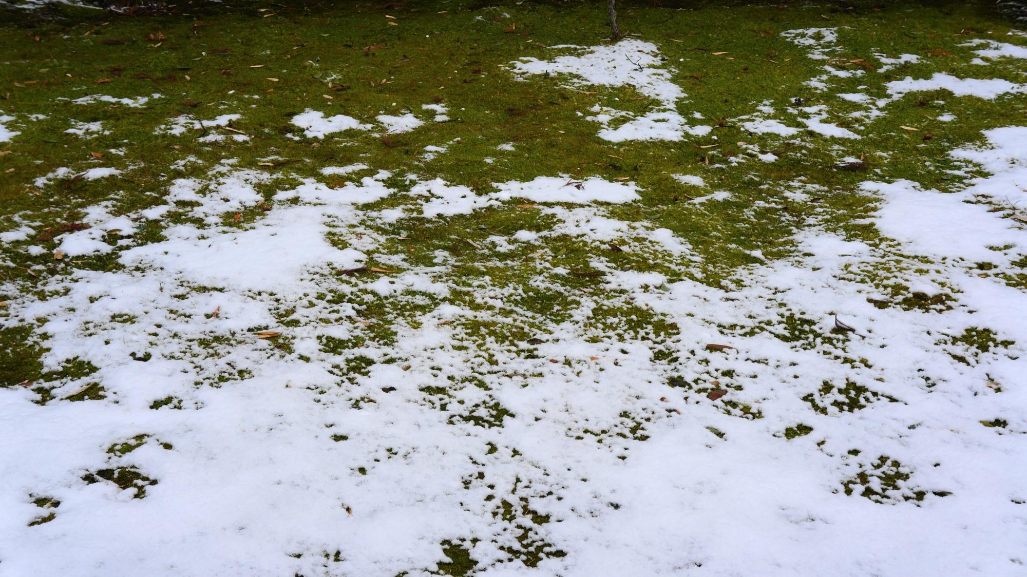 木に覆われて雪の積もらない緑の苔