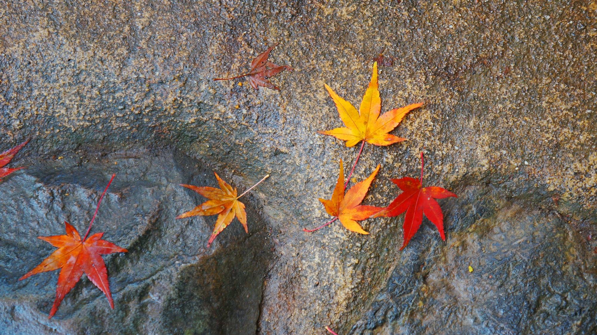 神護寺参道に散る華やかな紅葉