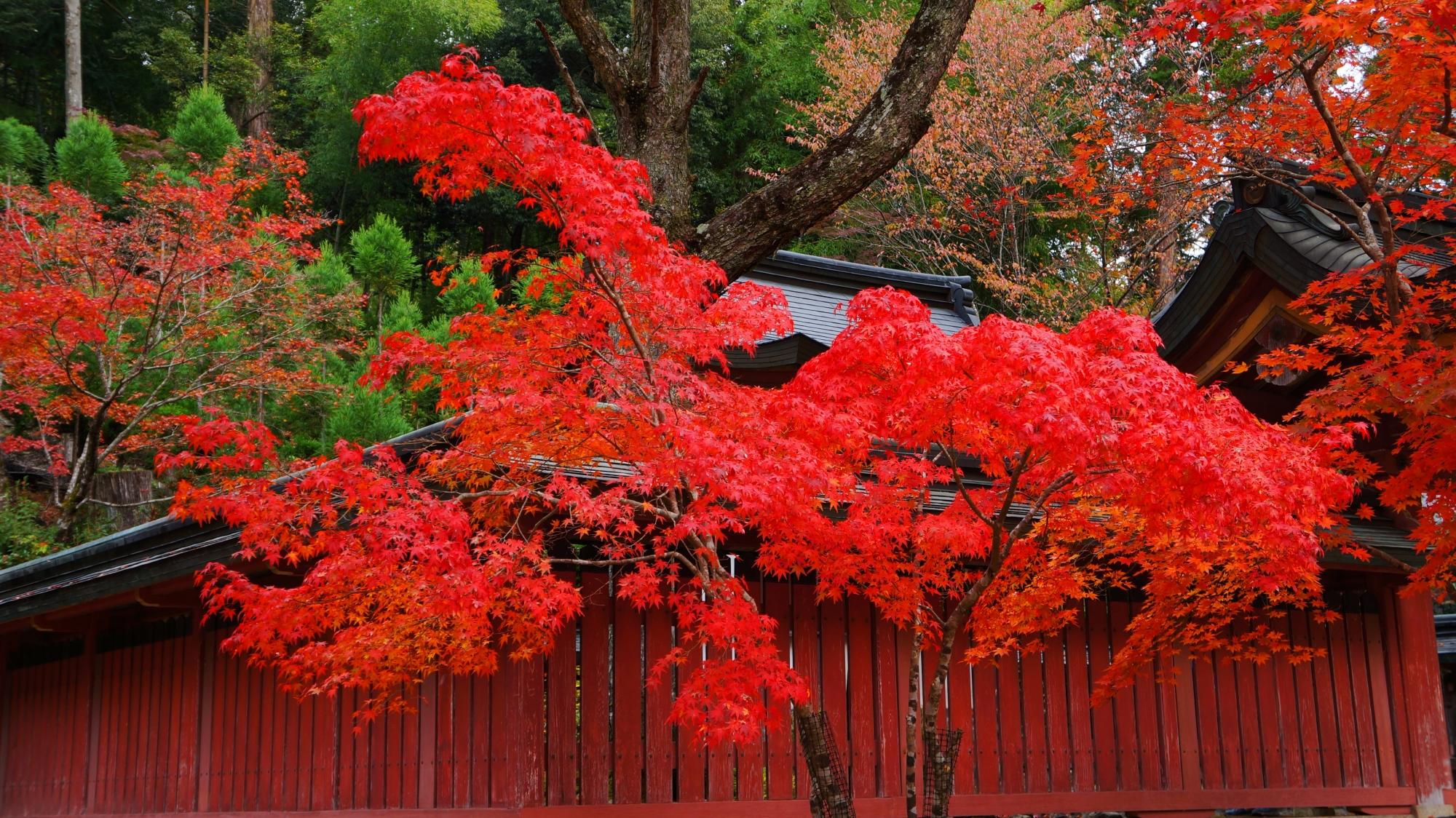 小豆色の柵の上で華やぐ真紅の紅葉