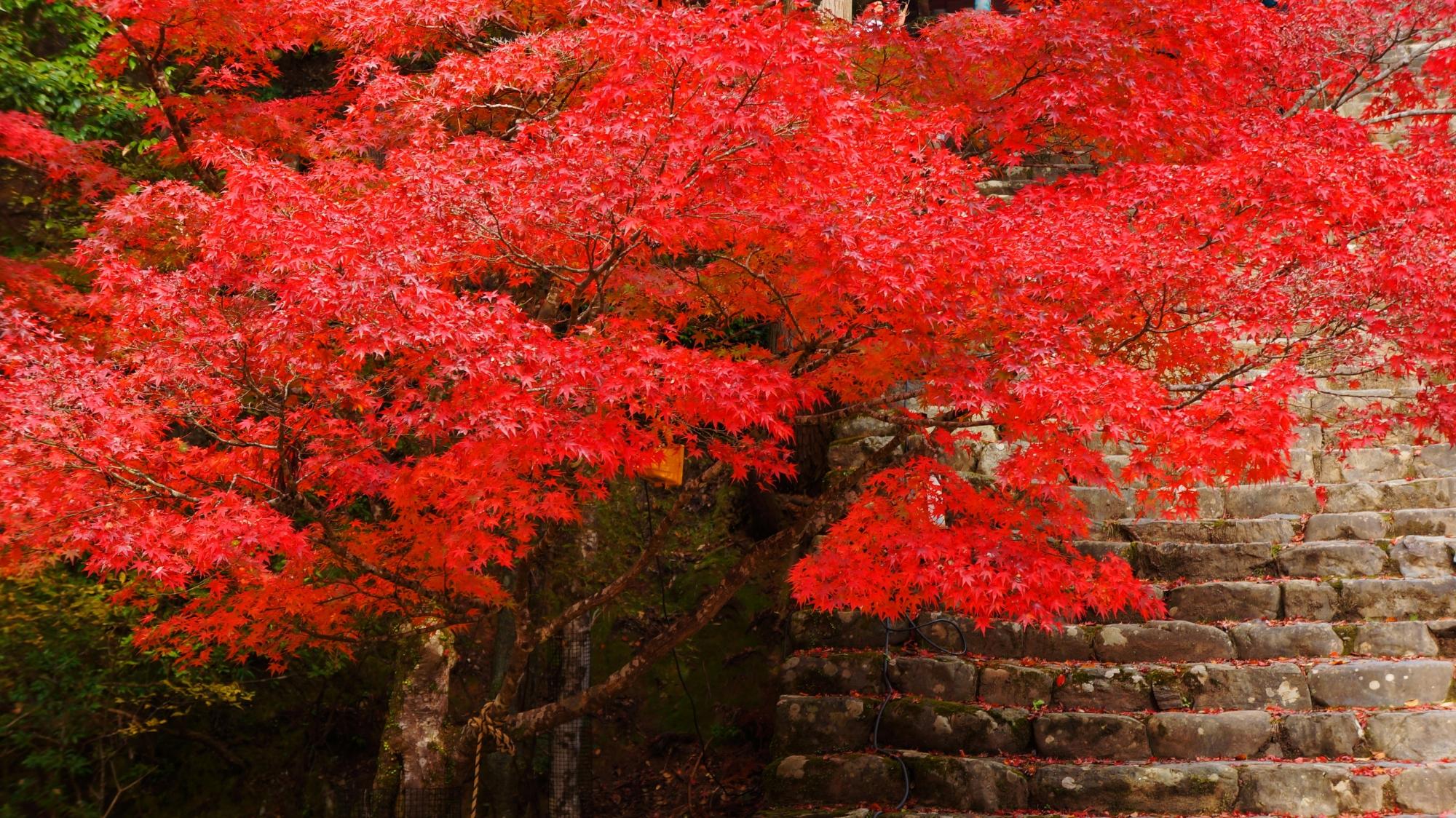 石段の上で浮かび上がるような真紅の紅葉