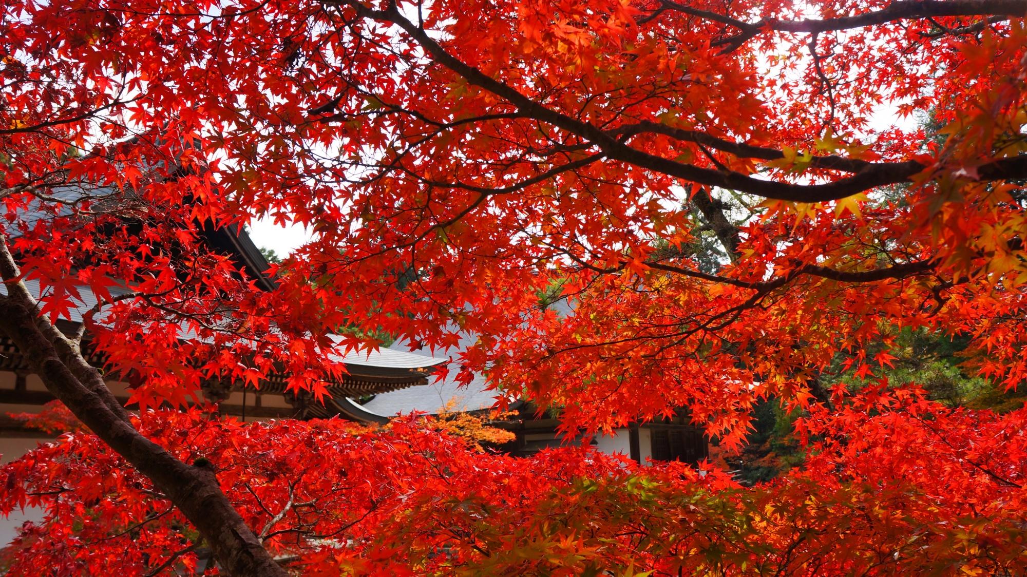 伽藍を真っ赤に染める圧倒的な秋色の紅葉