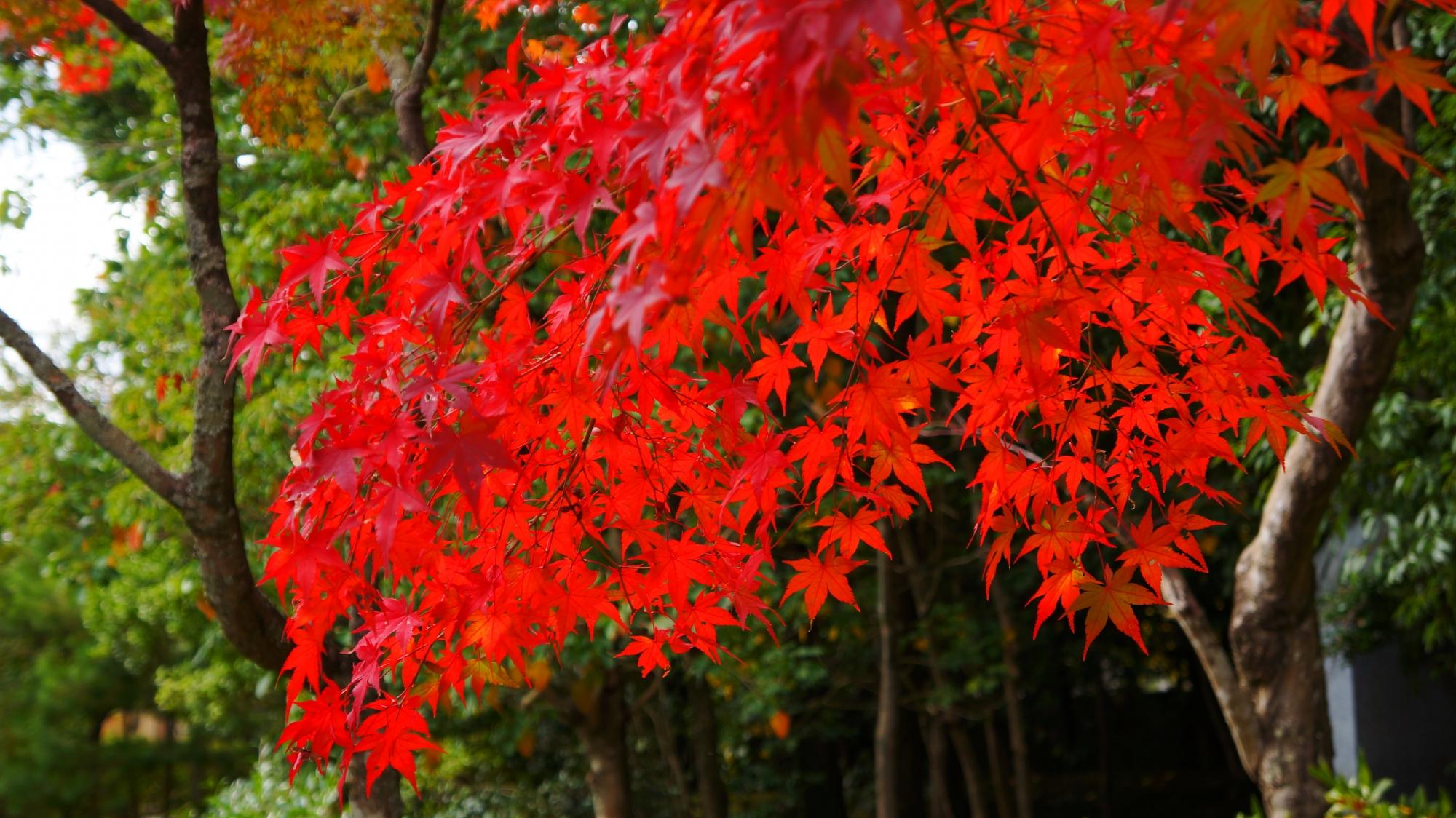 庭園を染める見事な色づきの紅葉