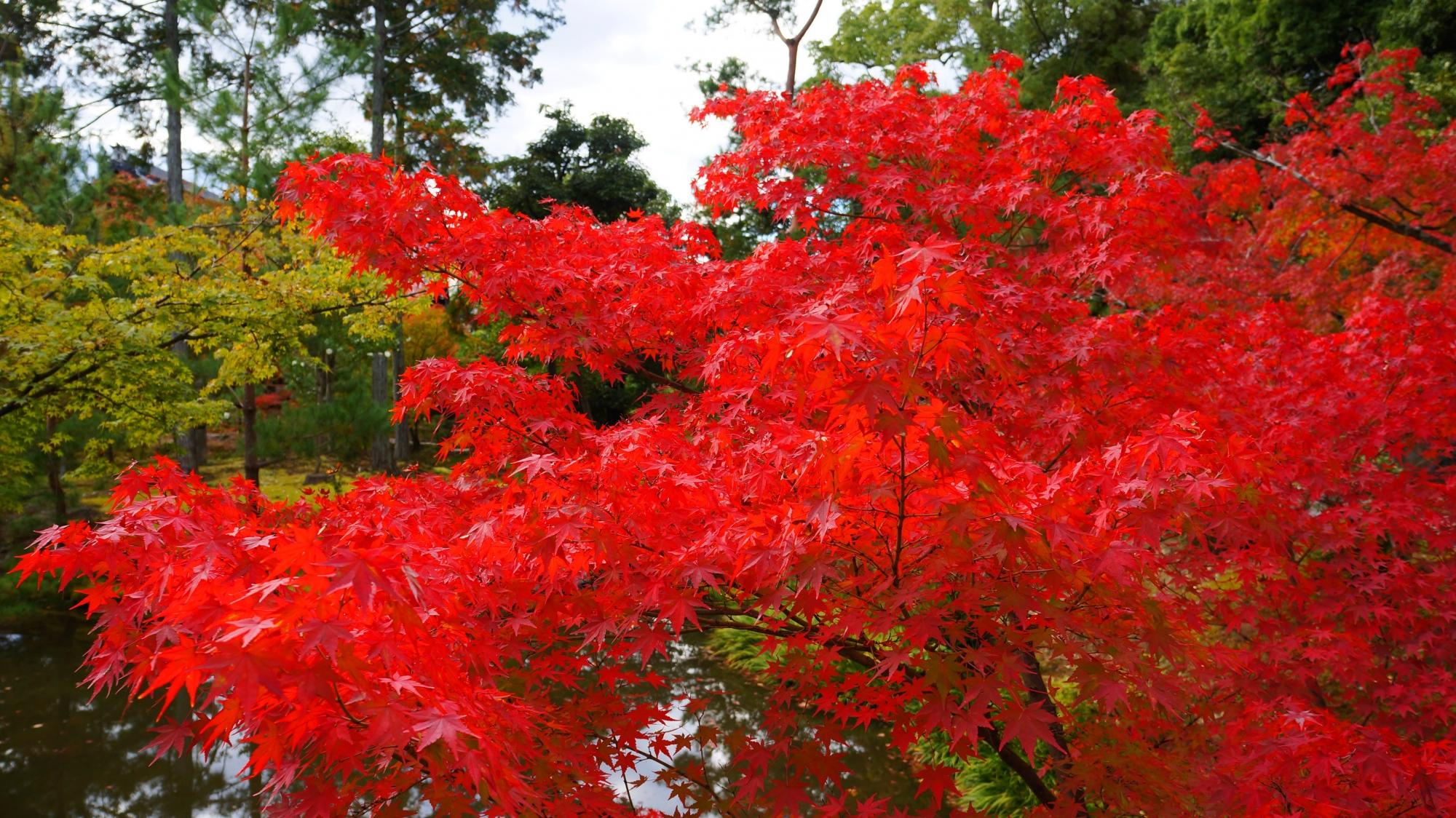 等持院の溢れる艶やかな紅葉