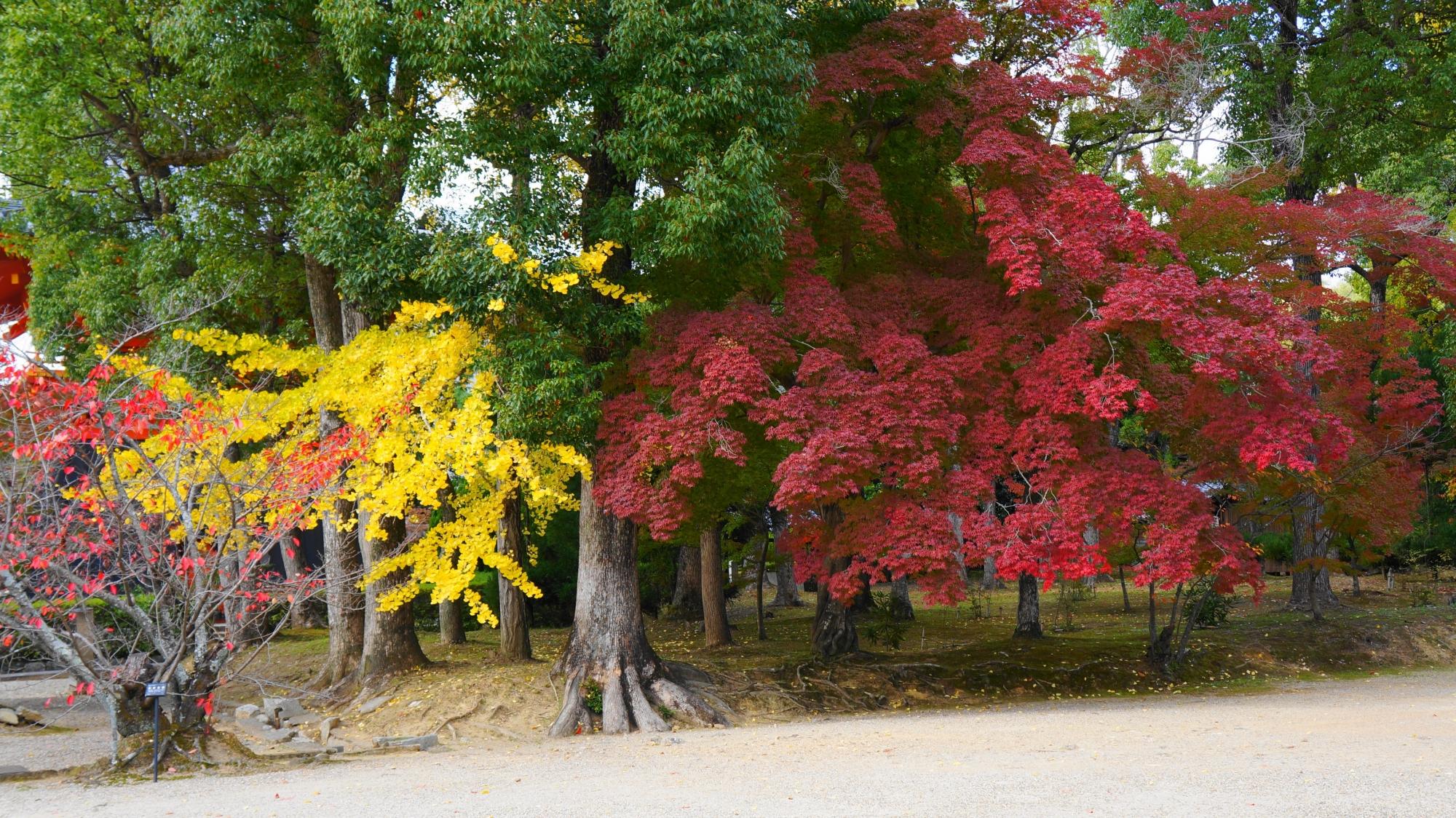 仁和寺の金堂横の見事なコントラストの赤い紅葉と黄色い銀杏