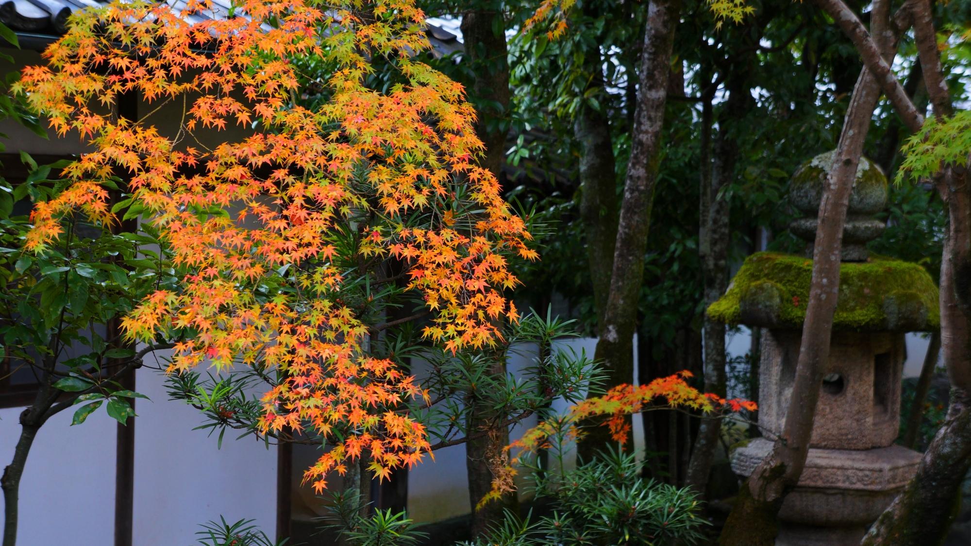 仁和寺の黒書院庭園の繊細で美しい紅葉