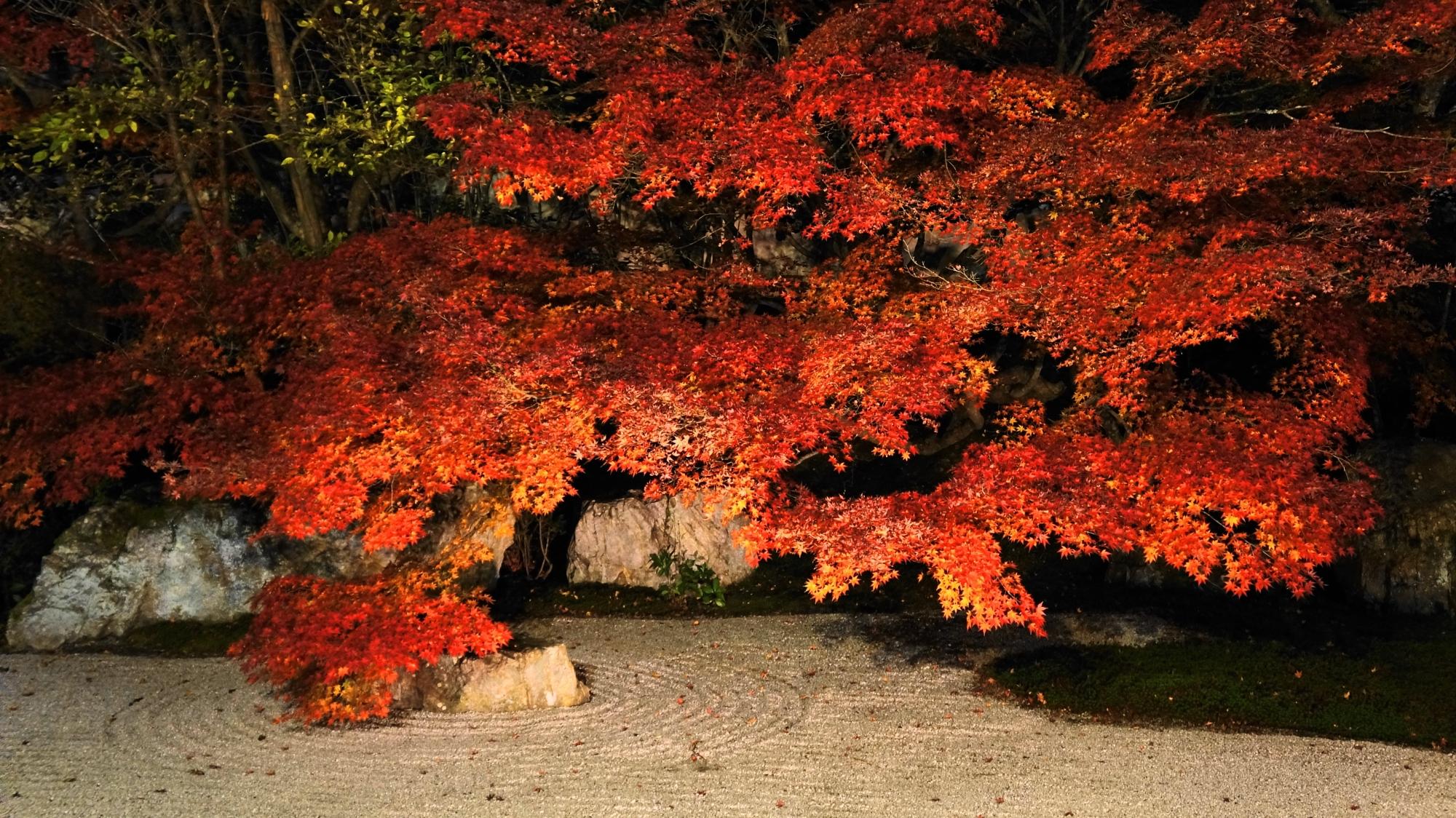 ライトアップされた白砂を真っ赤に染める鮮やかな紅葉