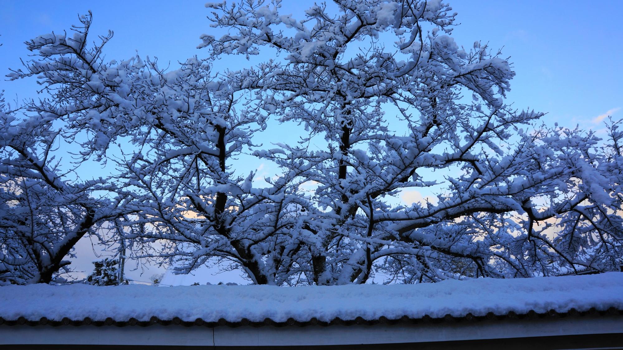 夜明けの淡い空を背景に咲く満開の雪の花