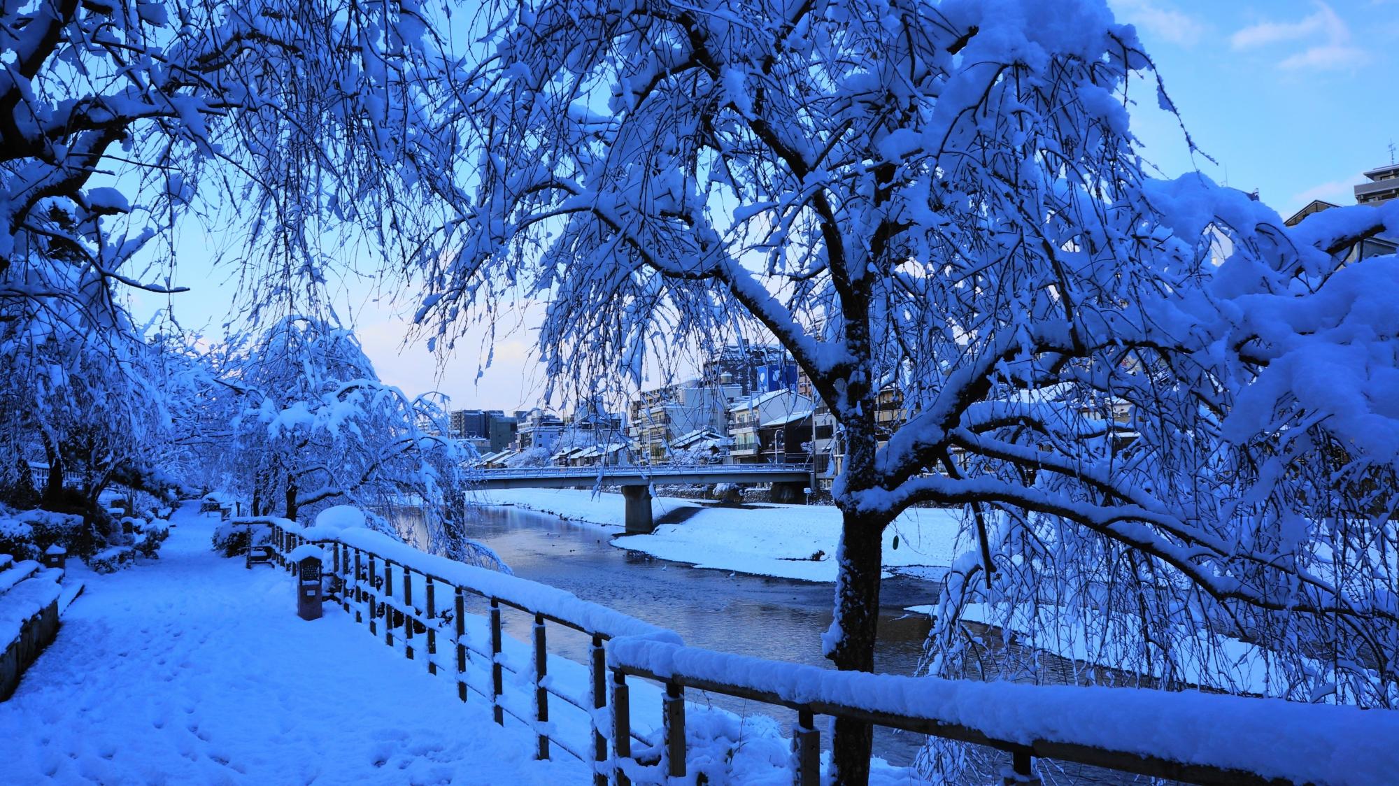 雪の花が豪快に咲く鴨川のしだれ桜