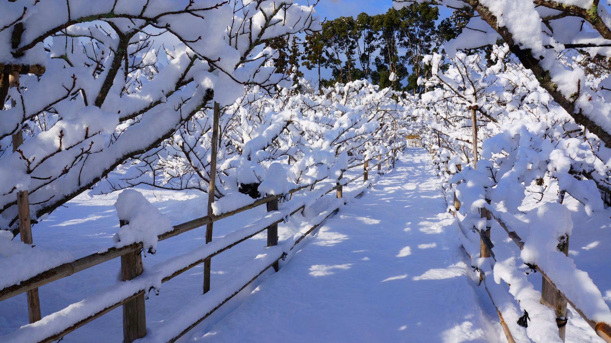 雪につつまれた御室桜を通る参道
