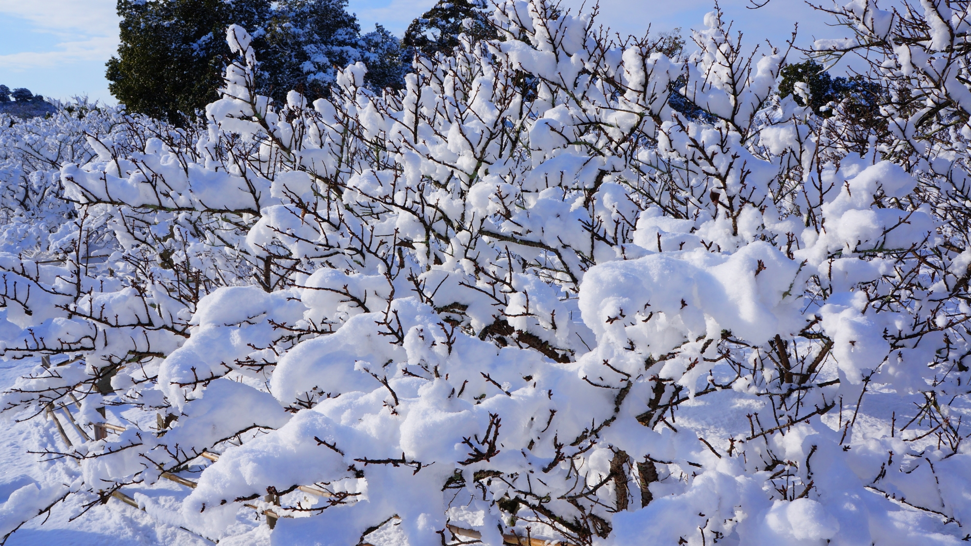 枝の先までびっしり雪が積もる御室桜