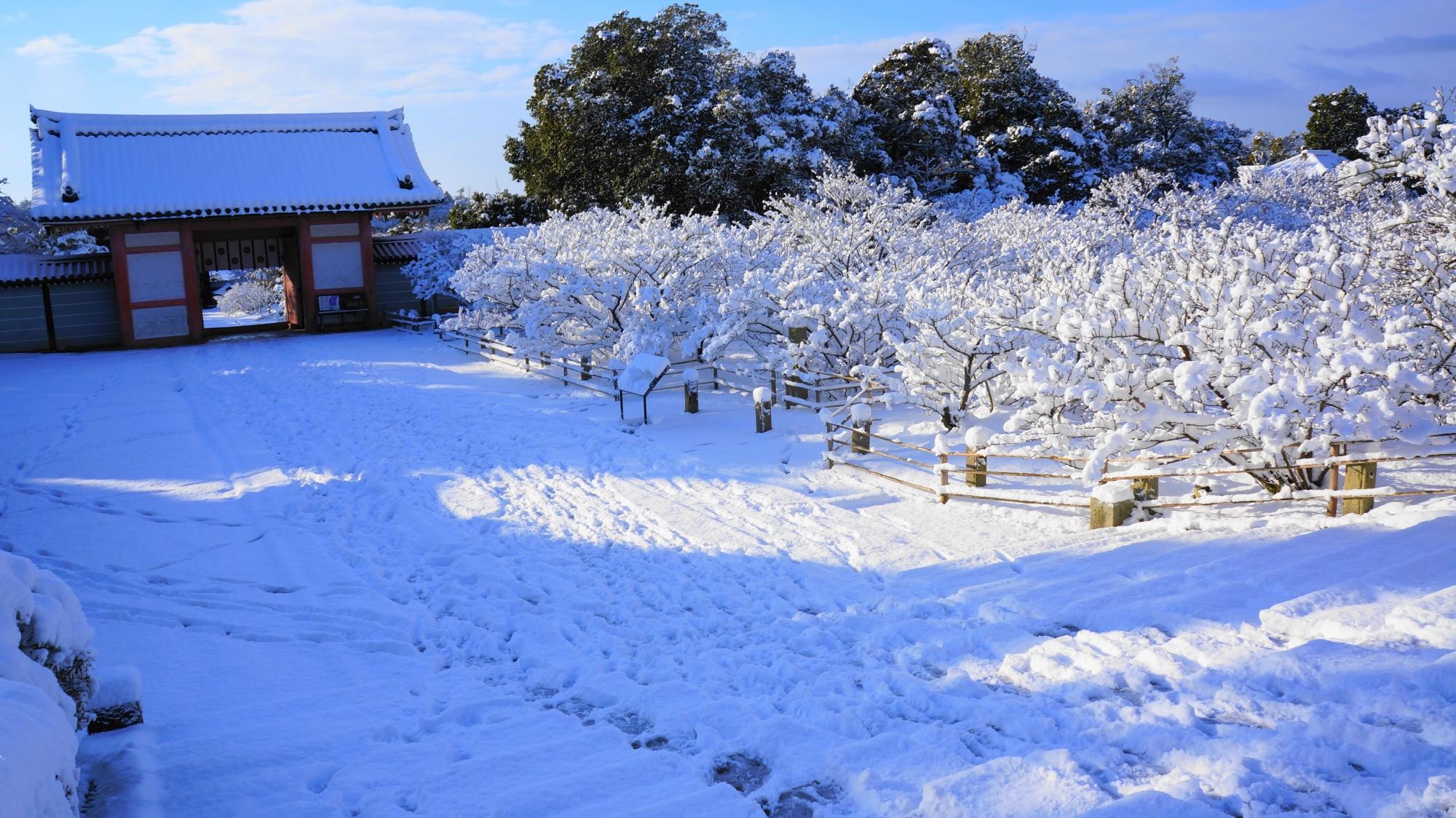 仁和寺の白銀の御室桜