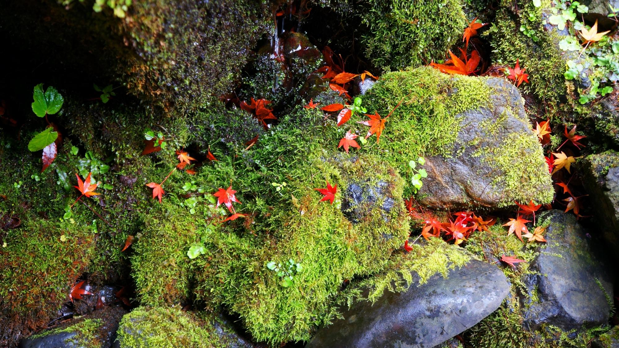 鮮やかな緑の苔に散る赤い紅葉