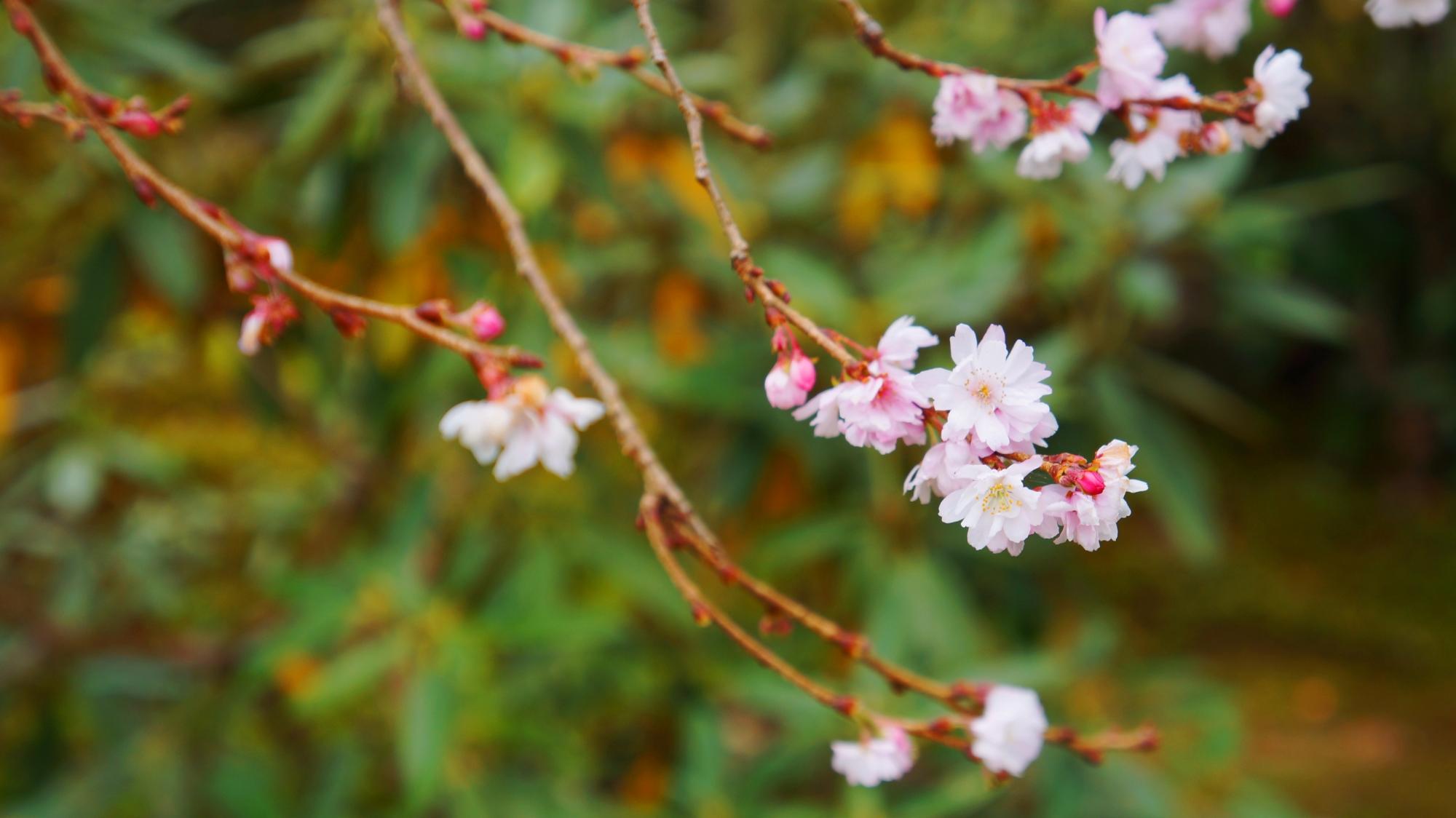 上品に控えめに咲く不断桜