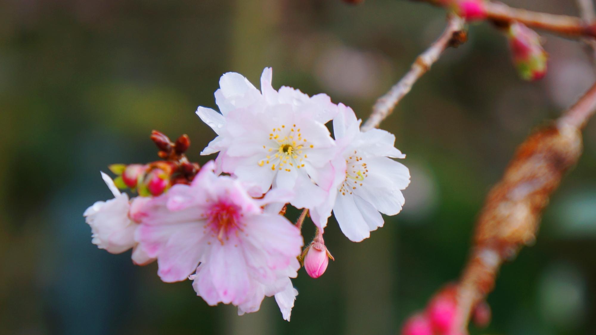 小さく可愛い花を咲かせる不断桜