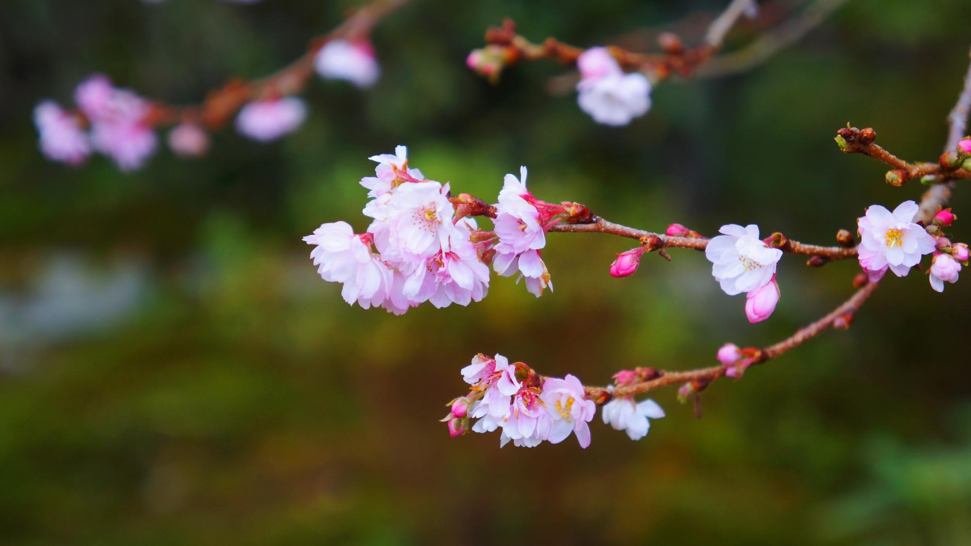 庭園を華やかに彩る不断桜の可憐な花