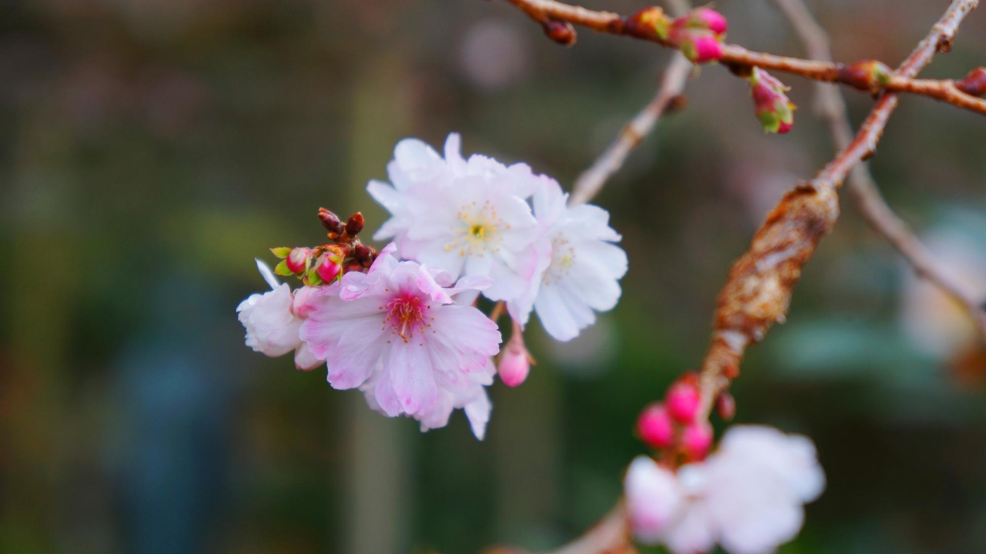 実光院の寒くてもめげずに咲く立派な桜