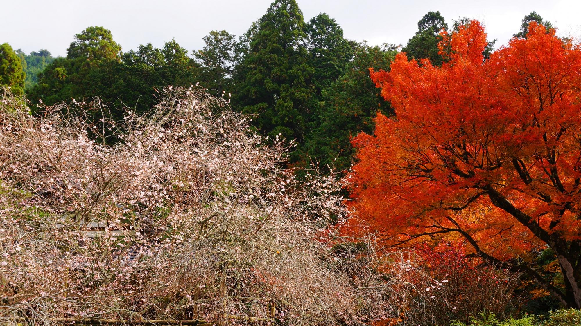 桜も紅葉も見ごろをむかえた実光院