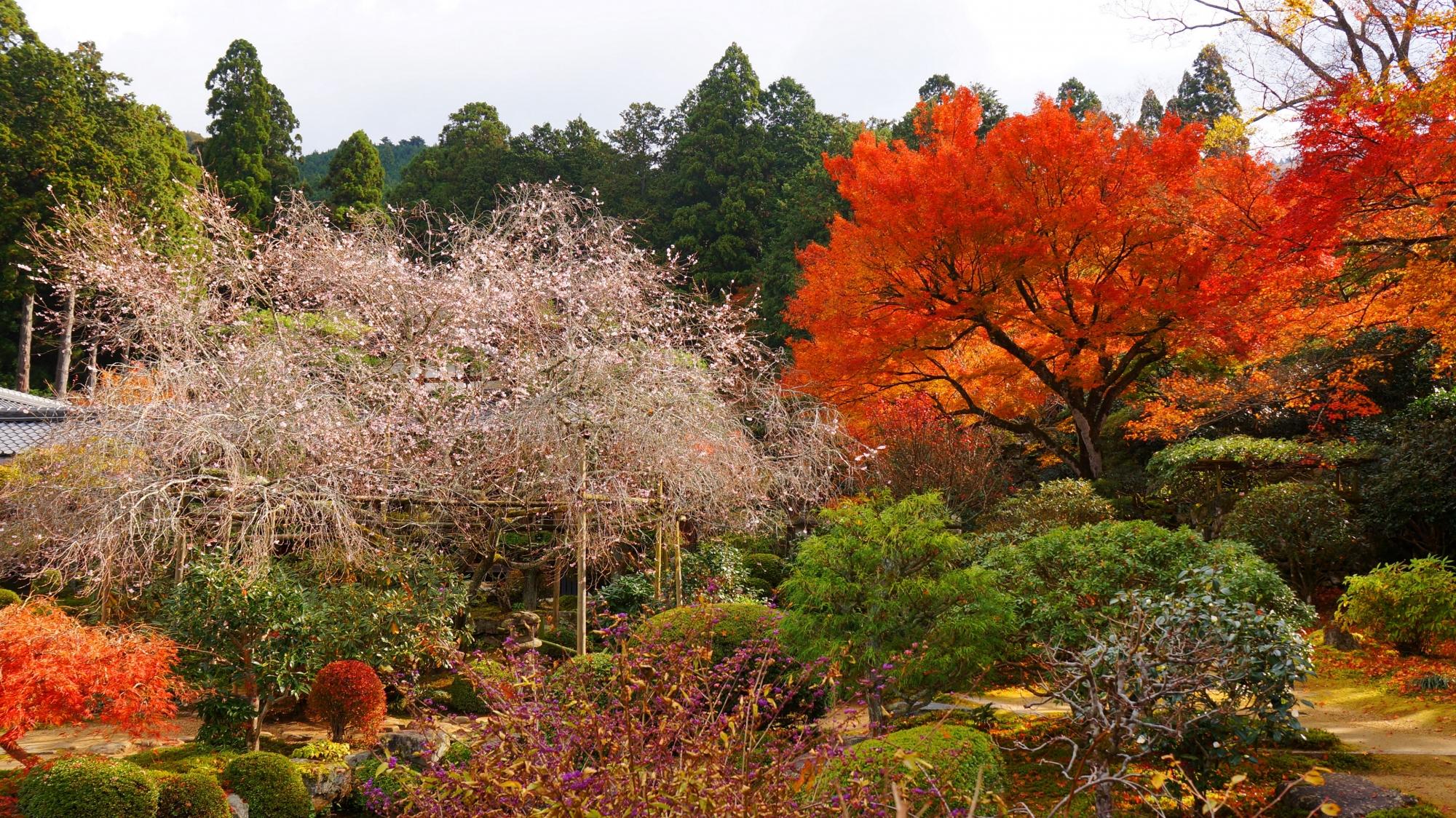 実光院の不断桜と紅葉