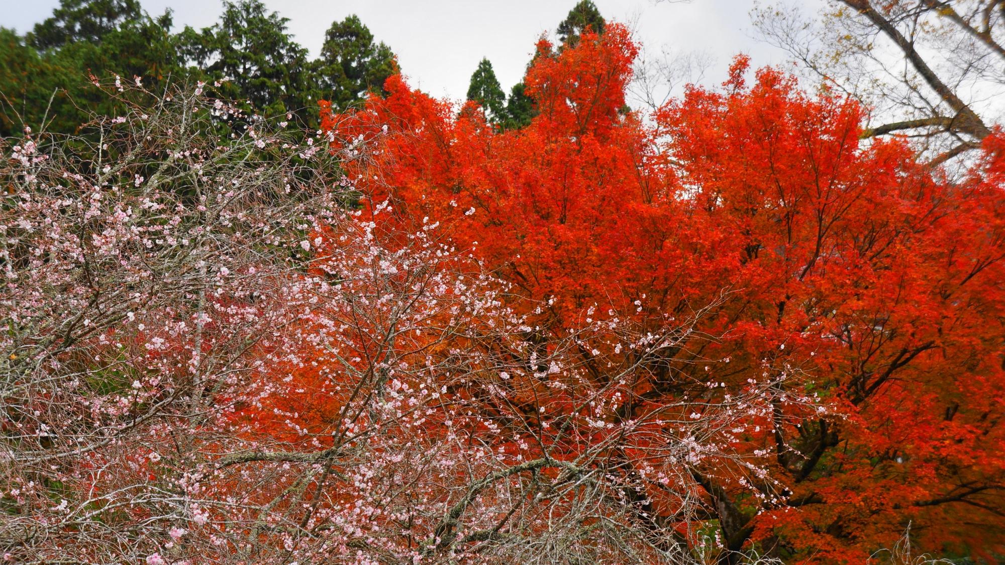 高画質 写真 実光院 紅葉 不断桜
