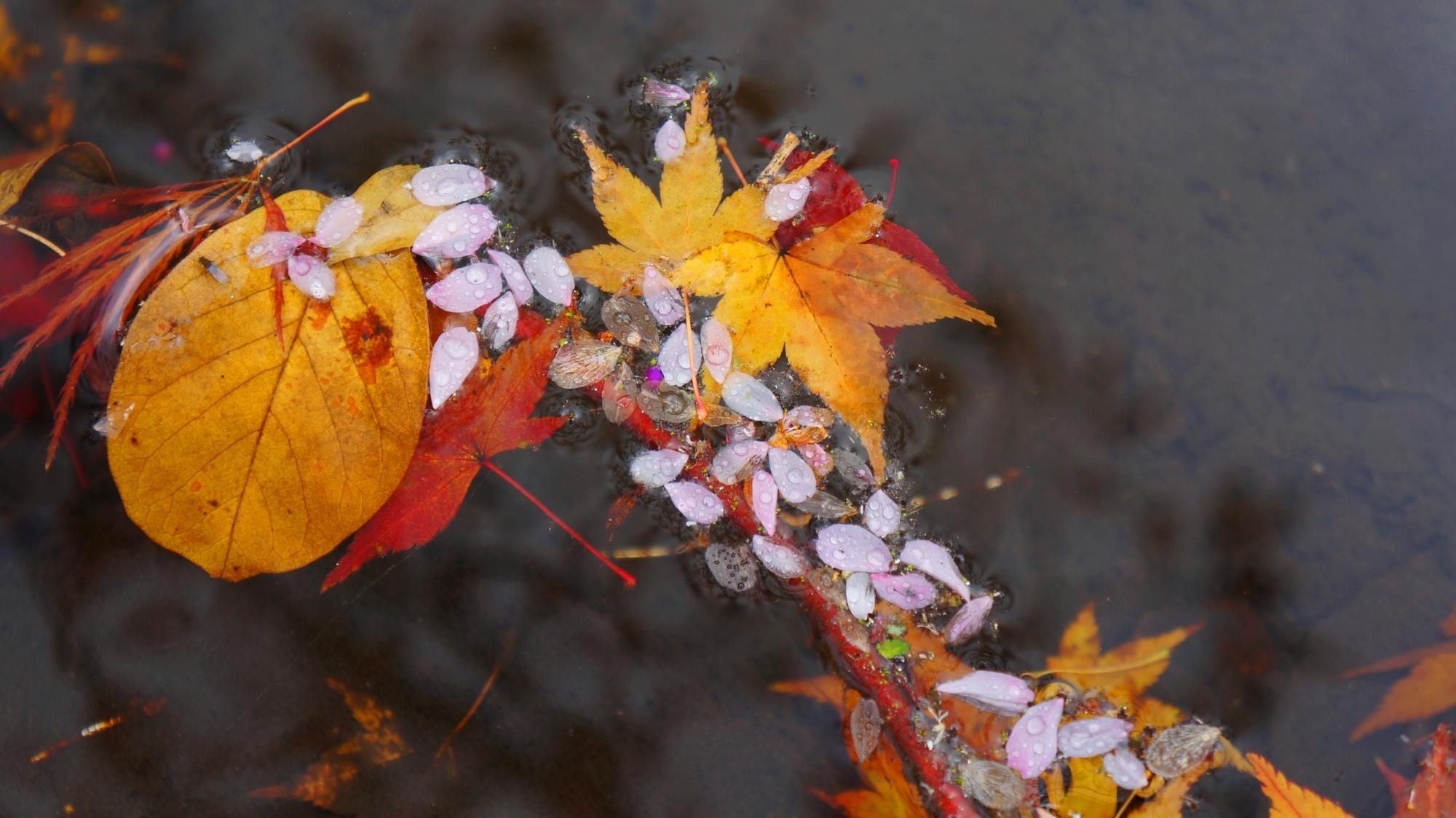 池に浮かぶ散り桜と散りもみじ