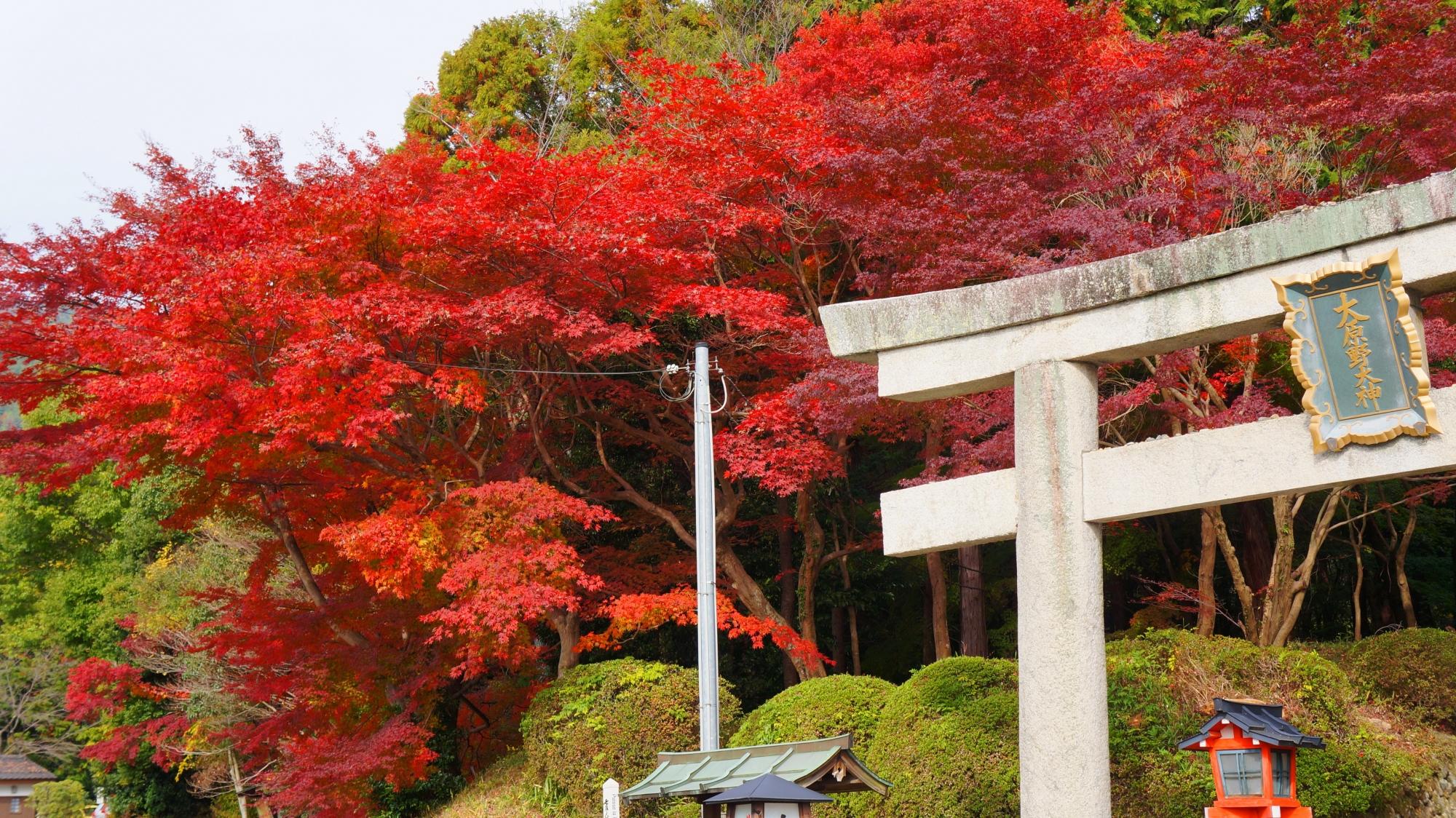 真っ赤に色づく一の鳥居の溢れる紅葉