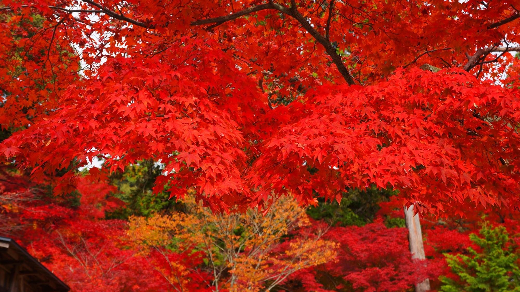 大原野神社のこれ以上ないくらいの超見ごろの紅葉