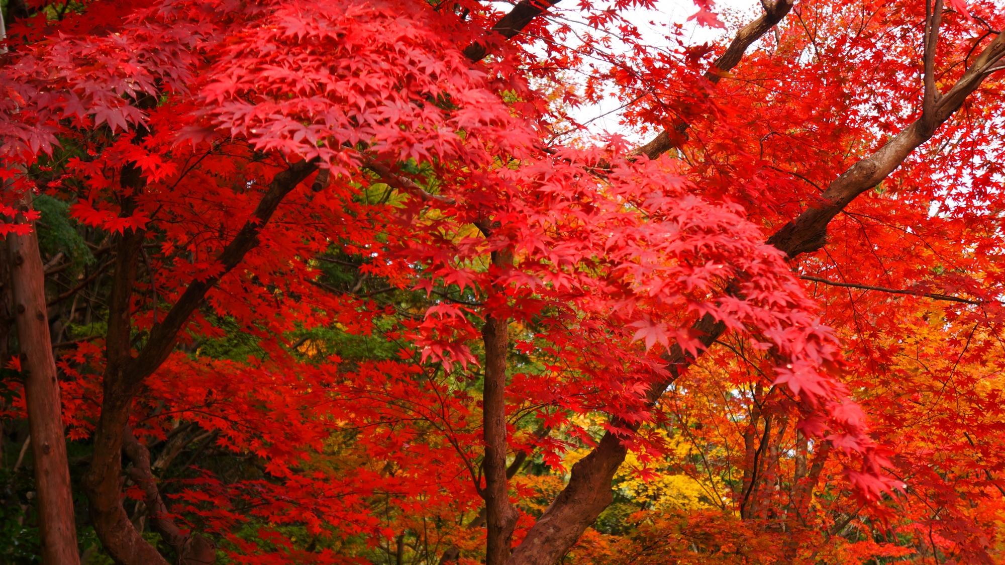 真っ赤な紅葉が降り注ぐ圧巻の秋の大原野神社