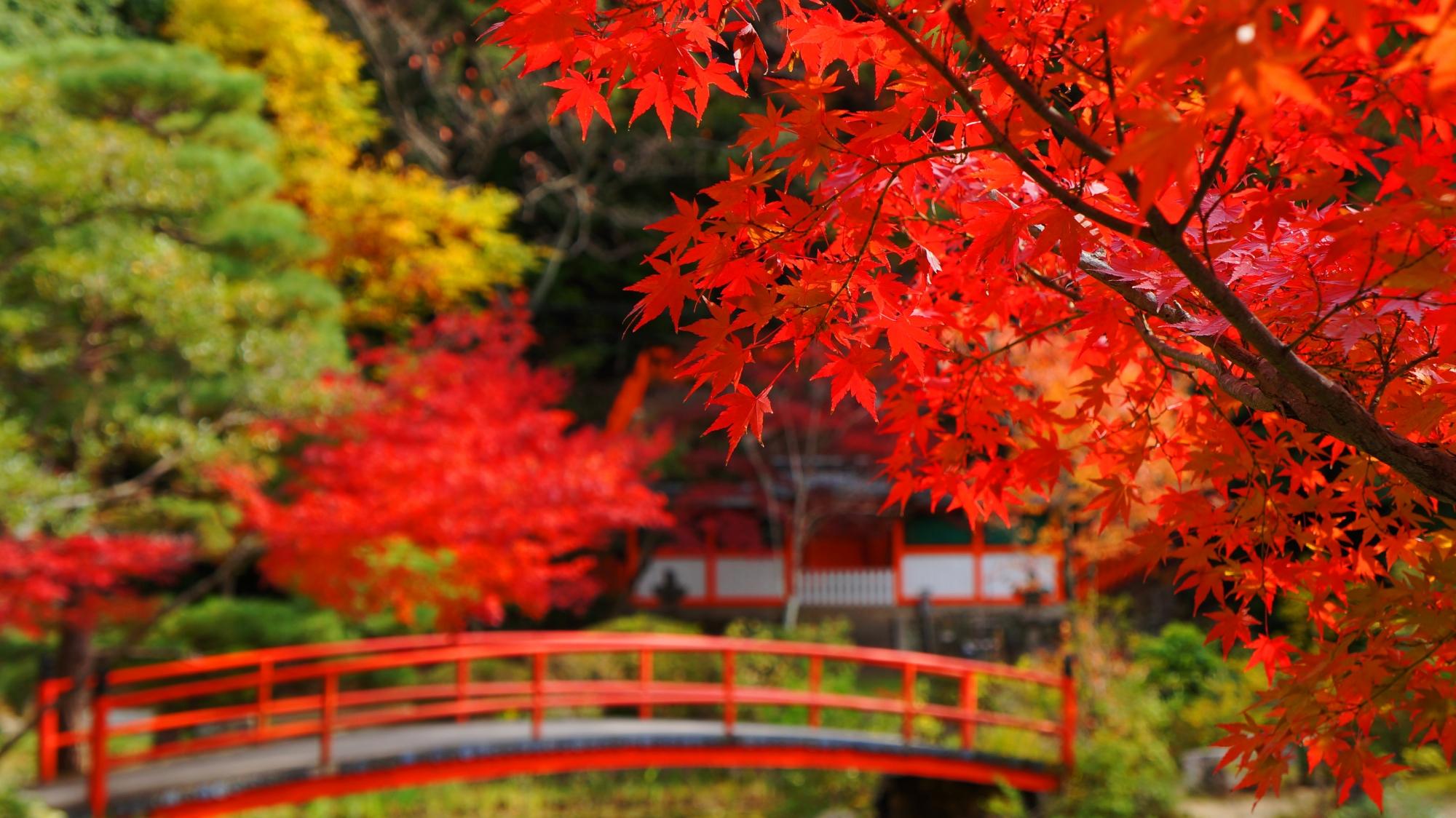 鯉沢の池にかかる赤い橋と真っ赤な紅葉