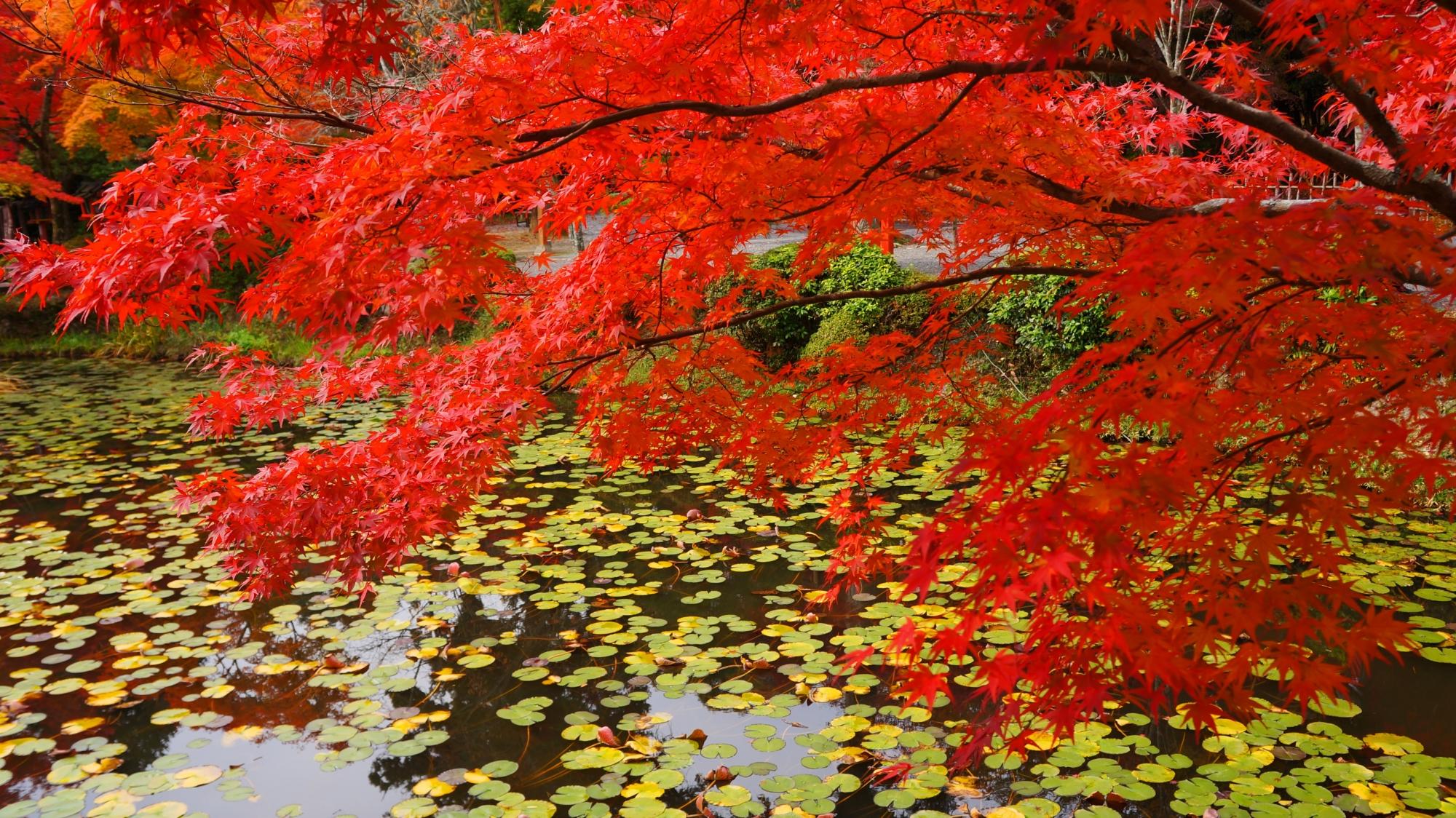 水辺と睡蓮の淡い緑の葉を染める真っ赤な紅葉