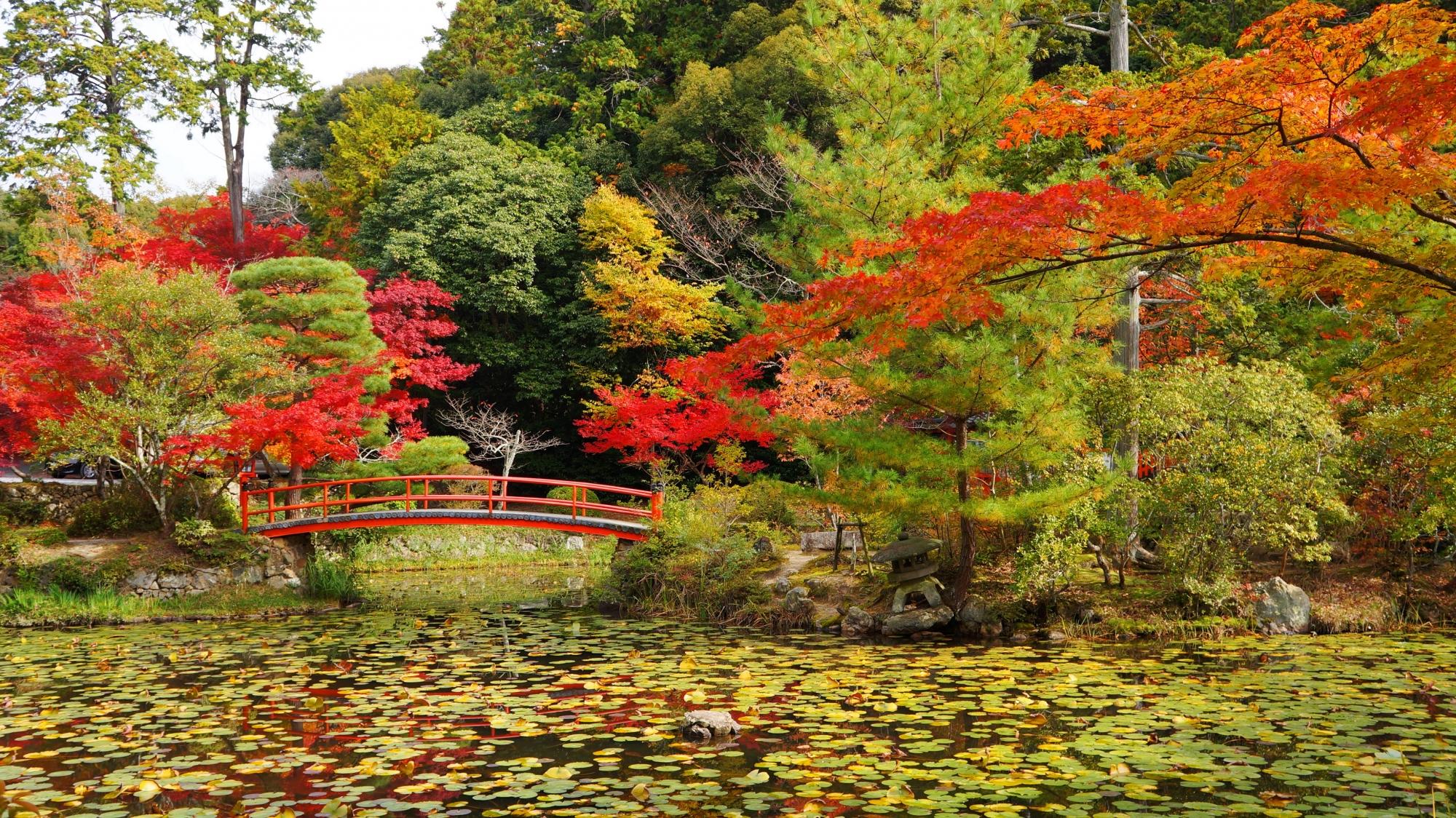 鯉沢の池の緑の睡蓮の葉と色とりどりの紅葉