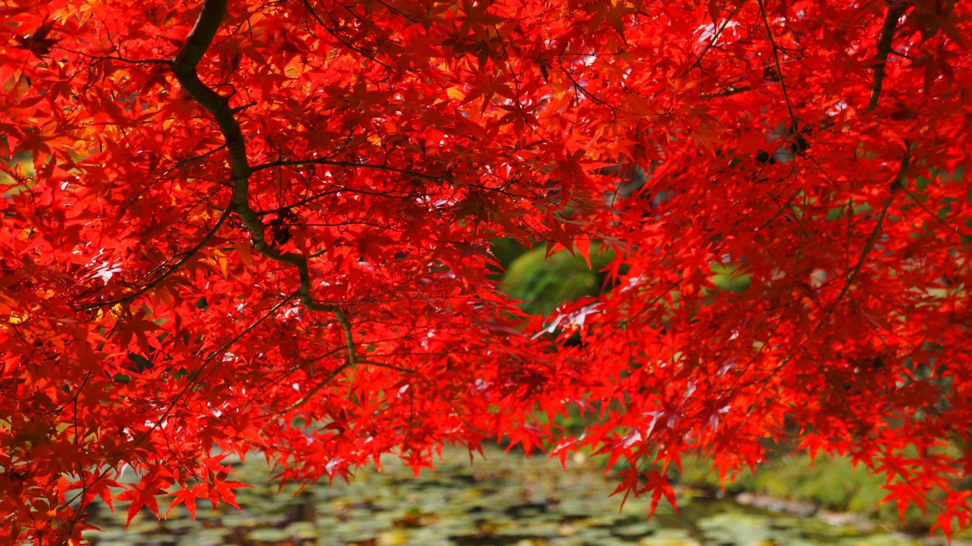 鯉沢の池を覆う煌びやかに輝く赤い紅葉