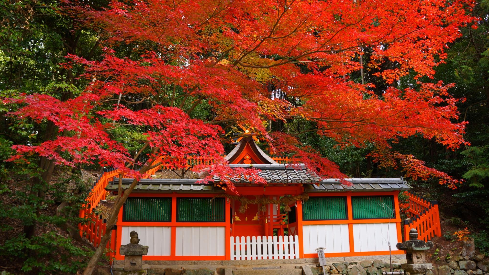 大原野神社の若宮社を覆う鮮やかな紅葉