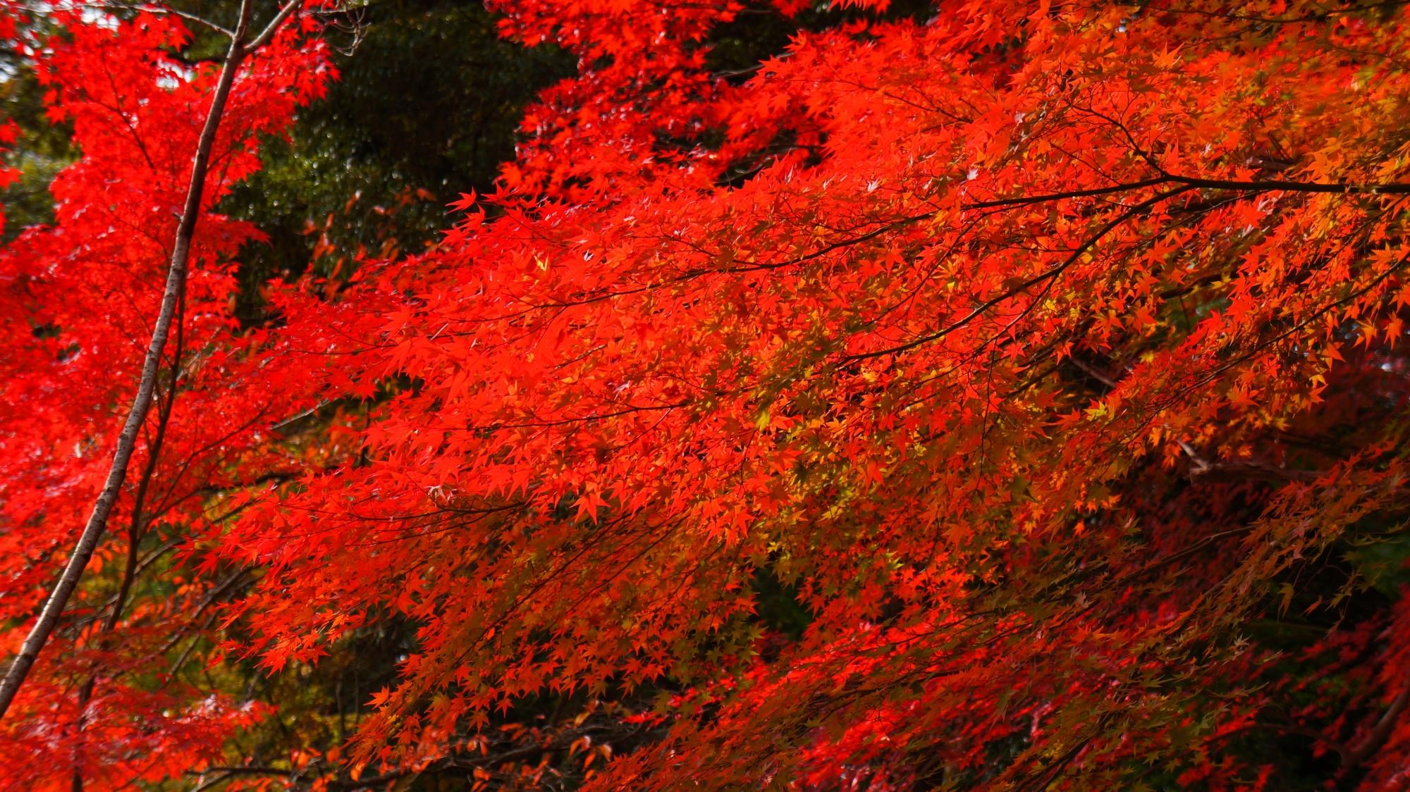 大原野神社の光が当たり輝く煌びやかな紅葉