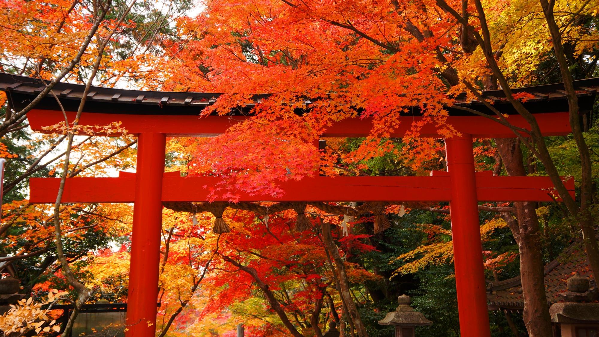 大原野神社の赤い鳥居を彩る鮮やかな紅葉