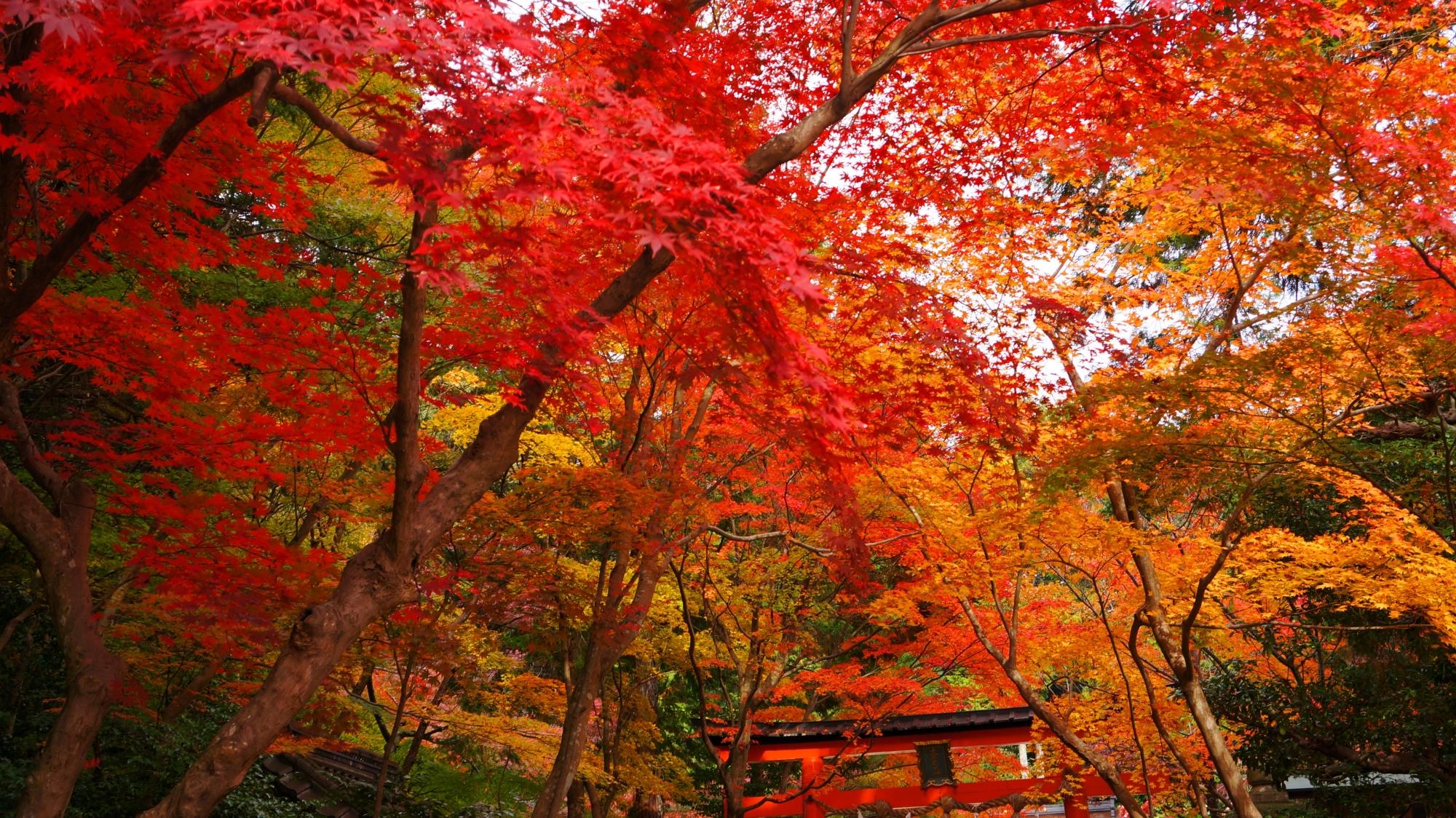 大原野神社の最高の見ごろの華やかな紅葉