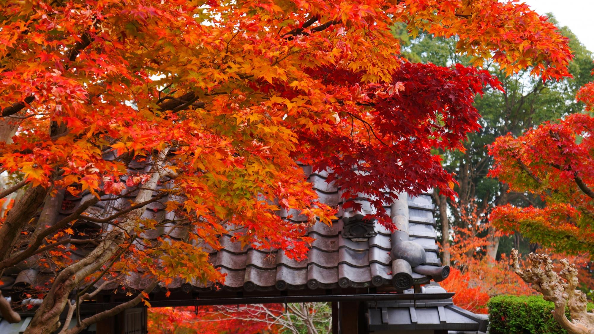 煌くような発色の良い紅葉