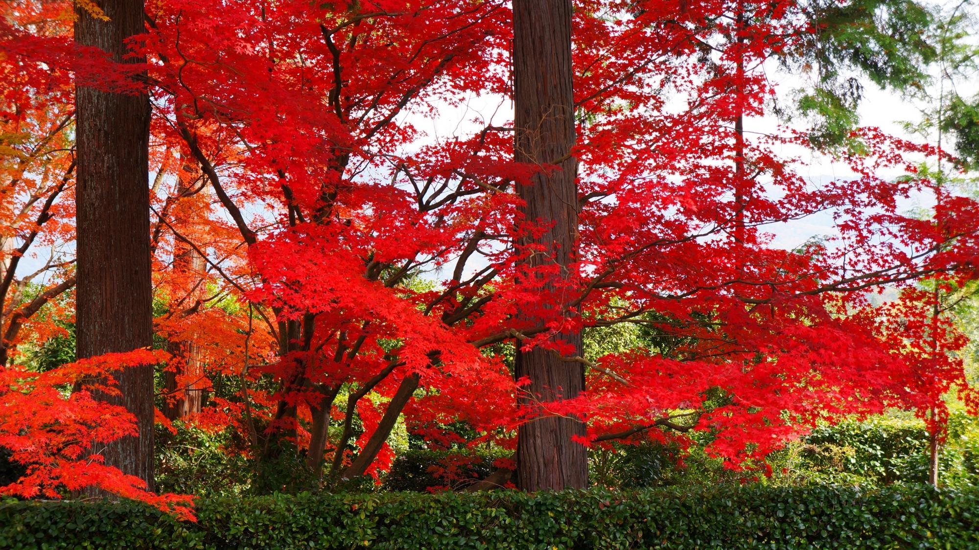 比叡山借景庭園の緑の生垣と真っ直ぐな杉の木