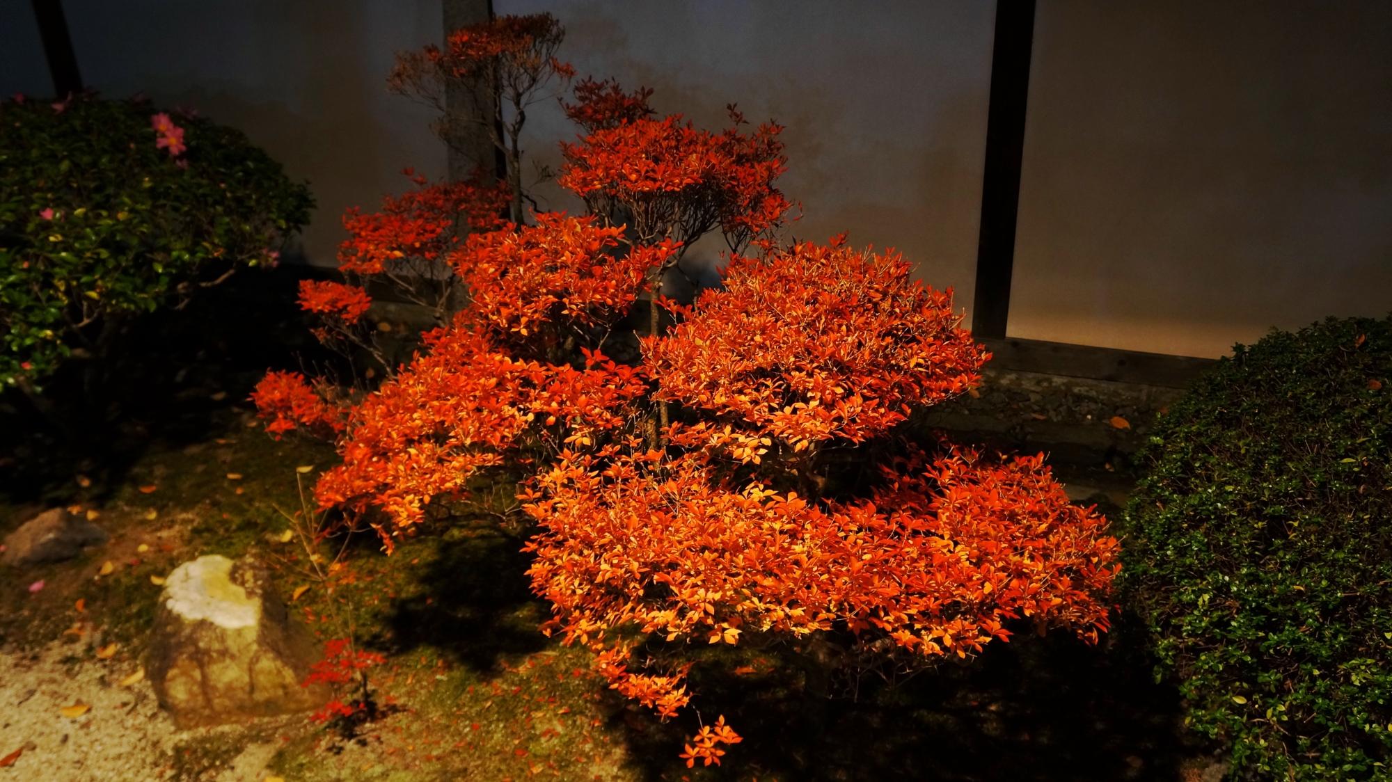 随心院の玄関付近のライトアップされたツツジの紅葉