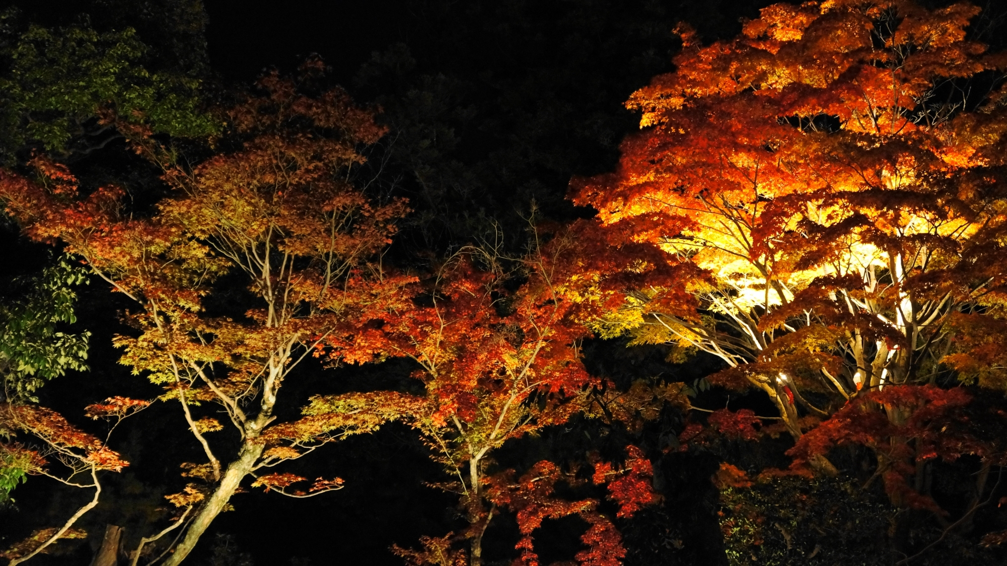 幻想的な浮かび上がる色づいた紅葉