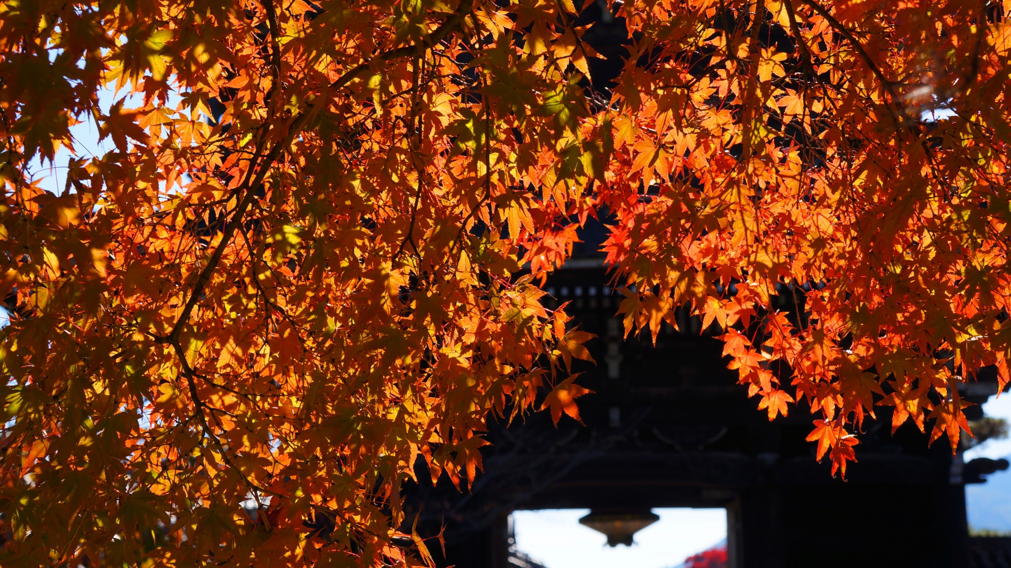 太陽に照らされ輝く華やかな紅葉