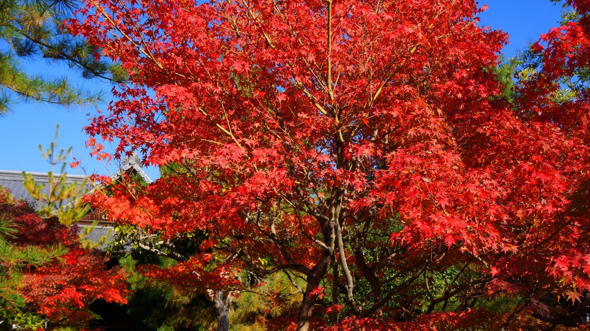 良く色づいた真っ赤な紅葉