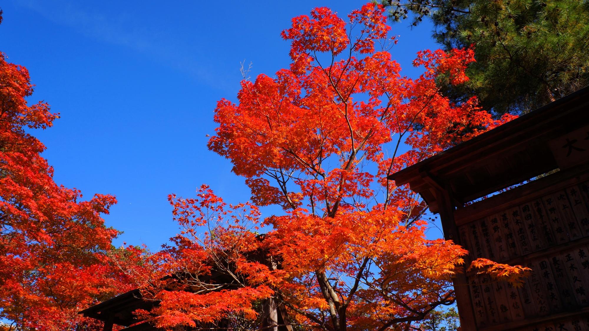 最高の青空に最高に色づいた清涼寺の紅葉