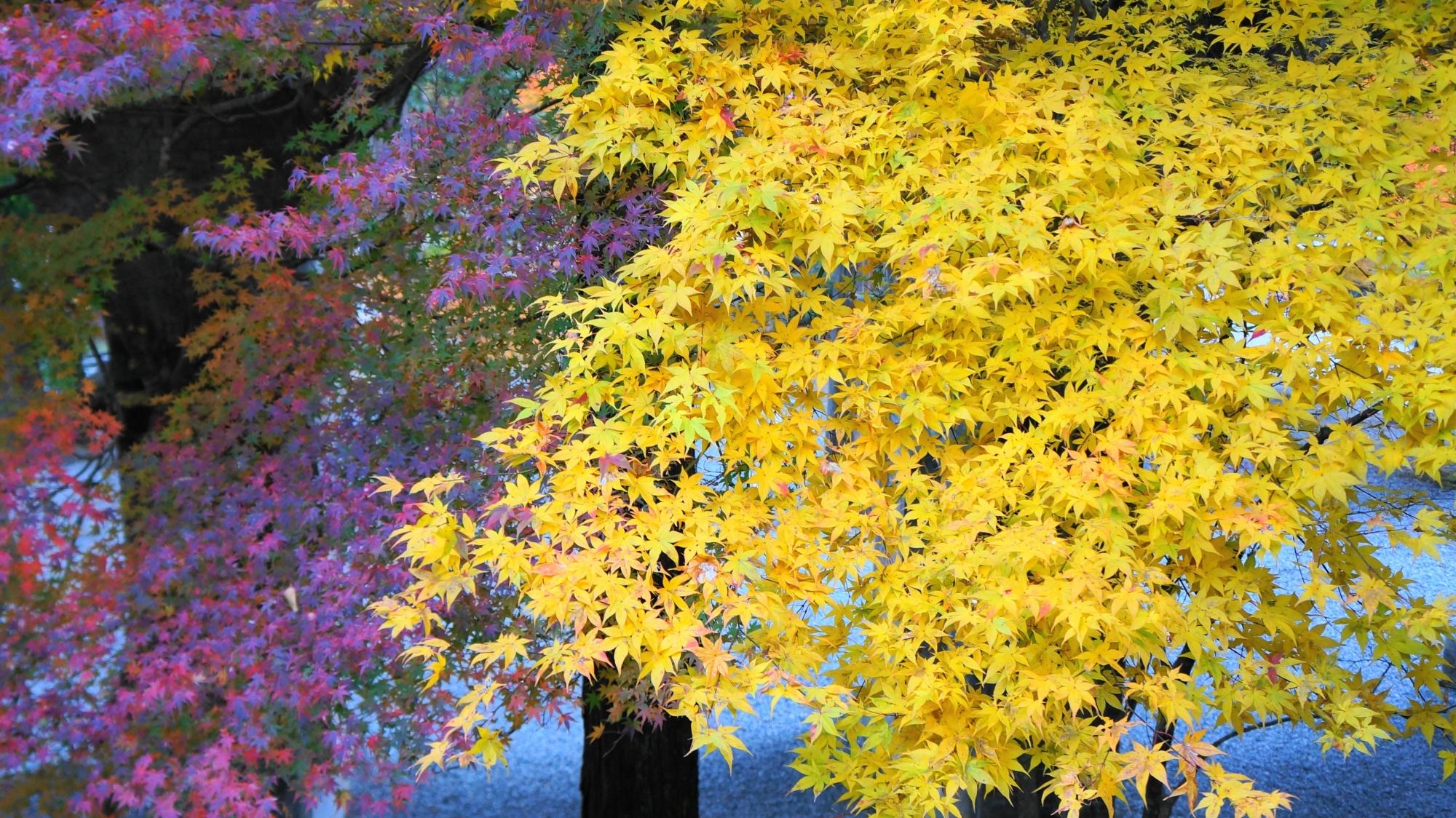 見事な発色の黄色い紅葉