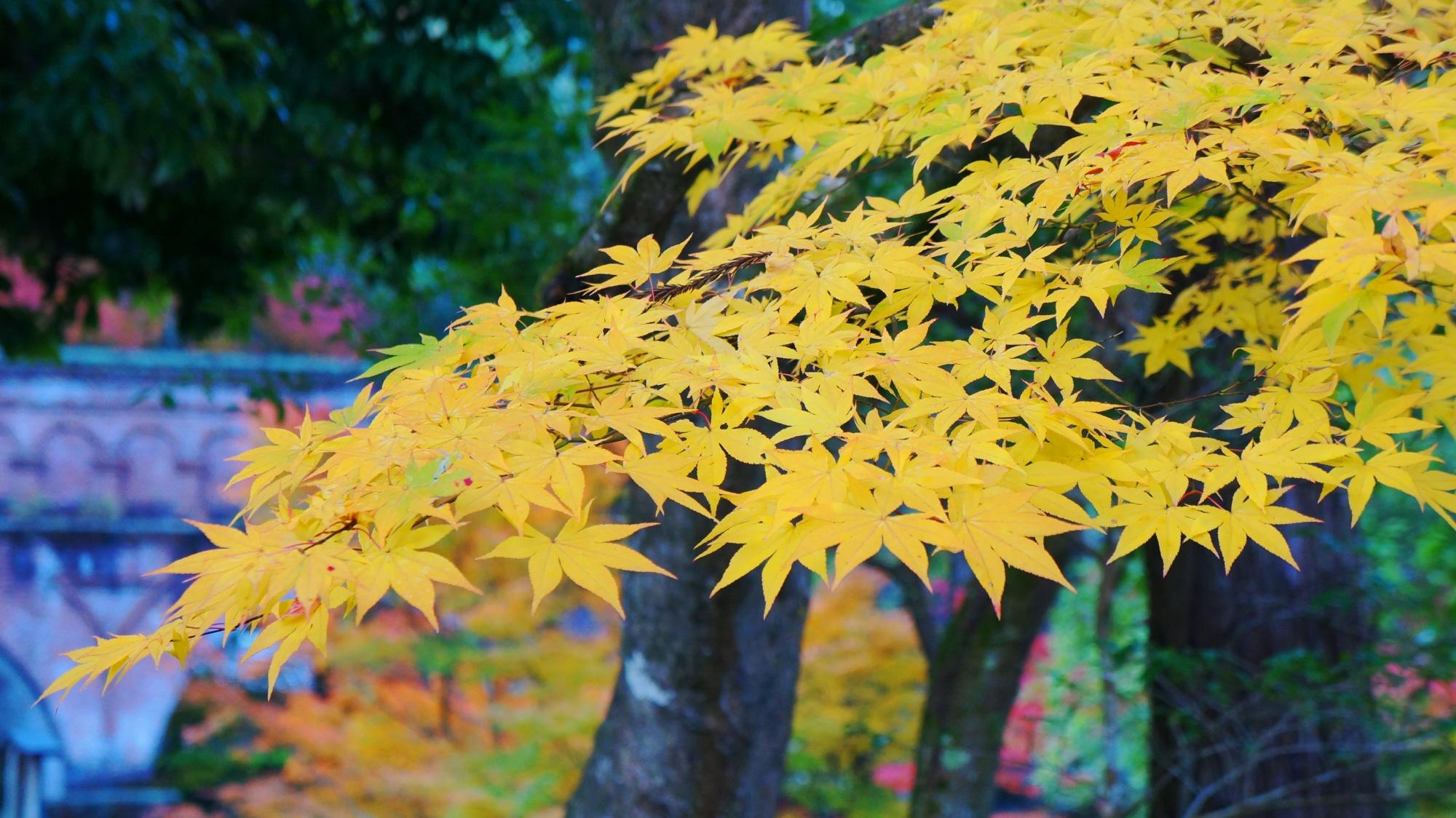 華やかな黄色い紅葉と奥に見える水路閣
