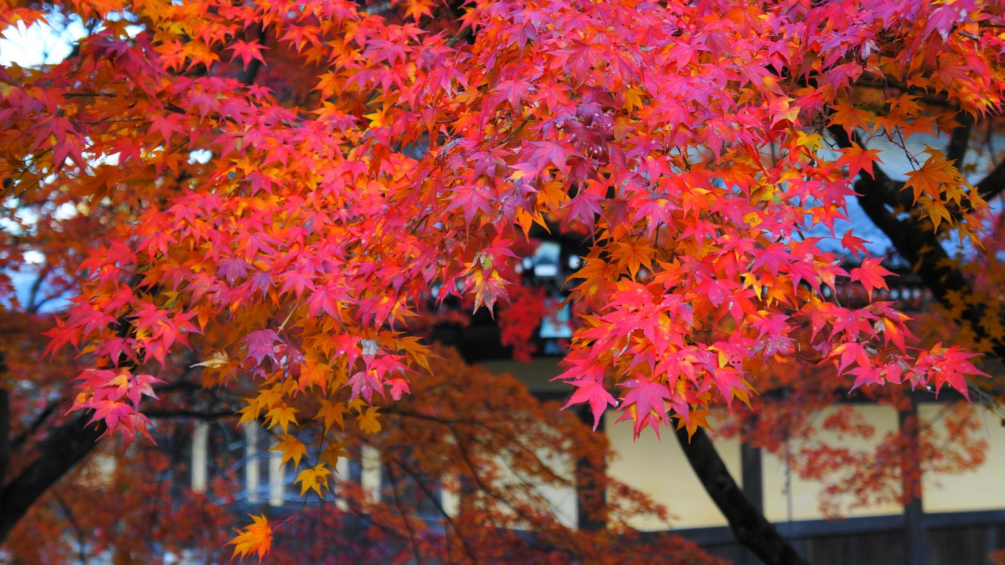 濃く色づいた南禅寺の法堂や境内を彩る美しい紅葉