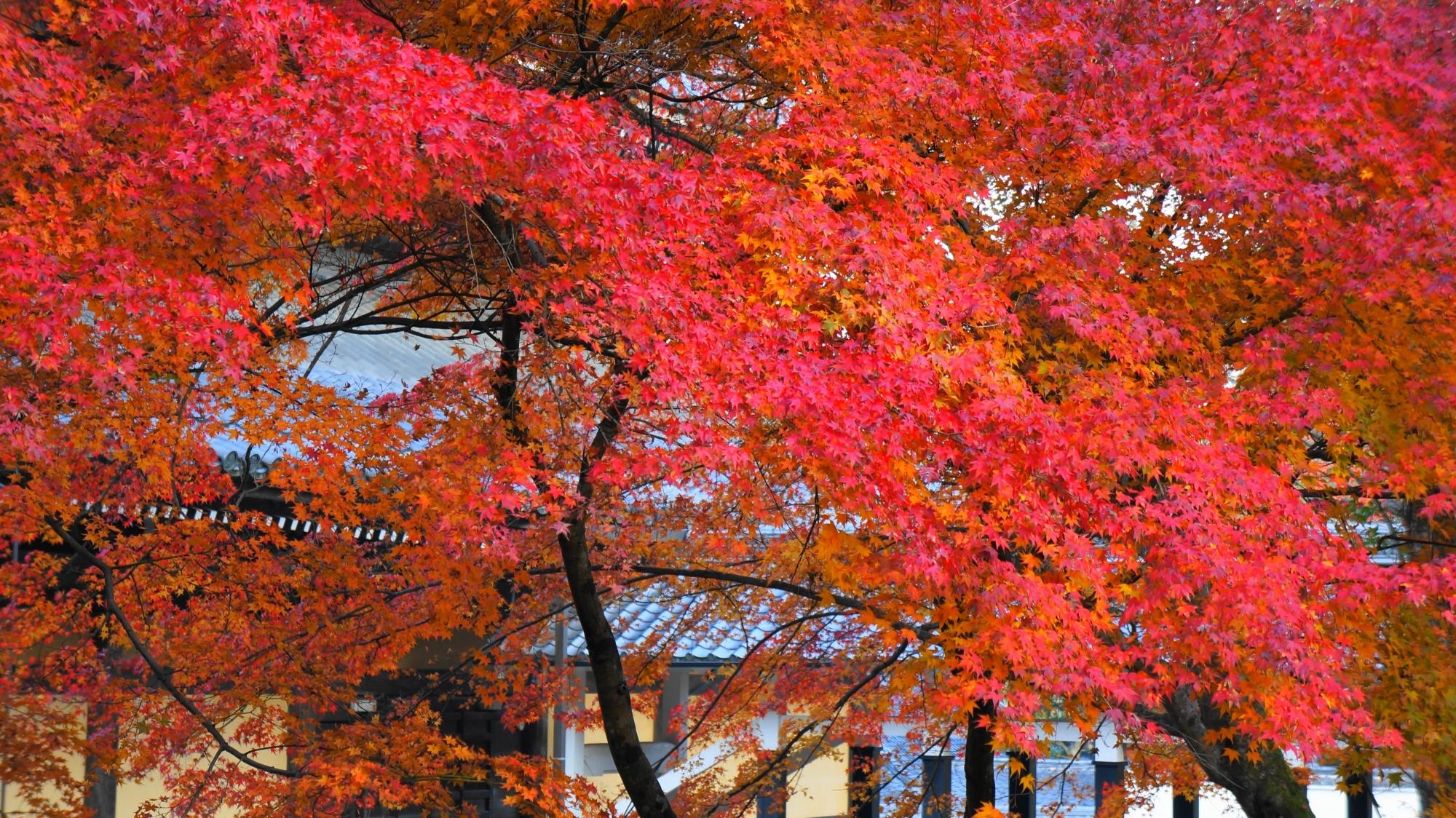 光の当たり具合で煌びやかに色づく鮮やかな紅葉