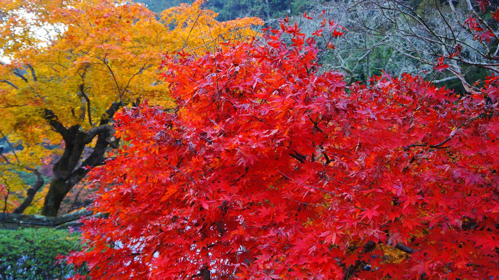 雨で潤った燃えるような真っ赤な紅葉