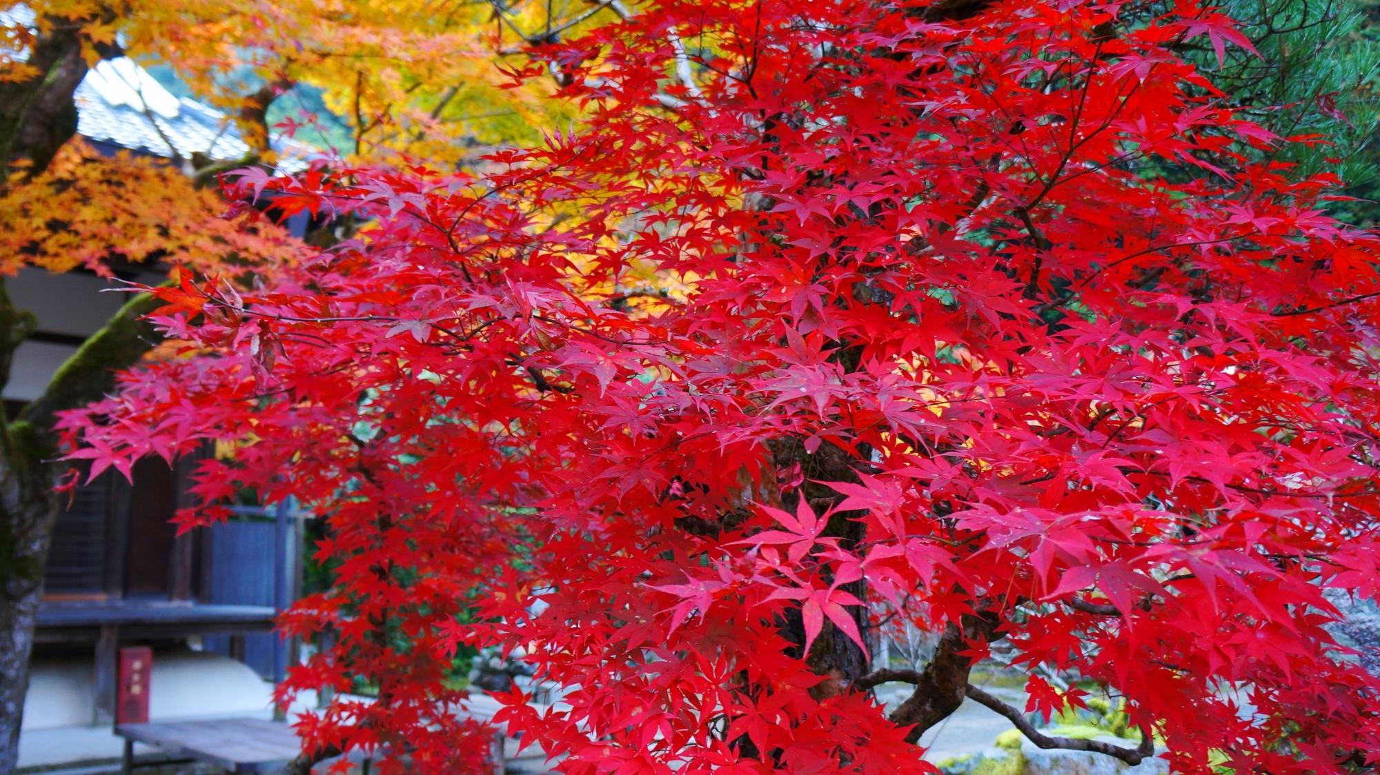 最高の色づきの真紅の紅葉