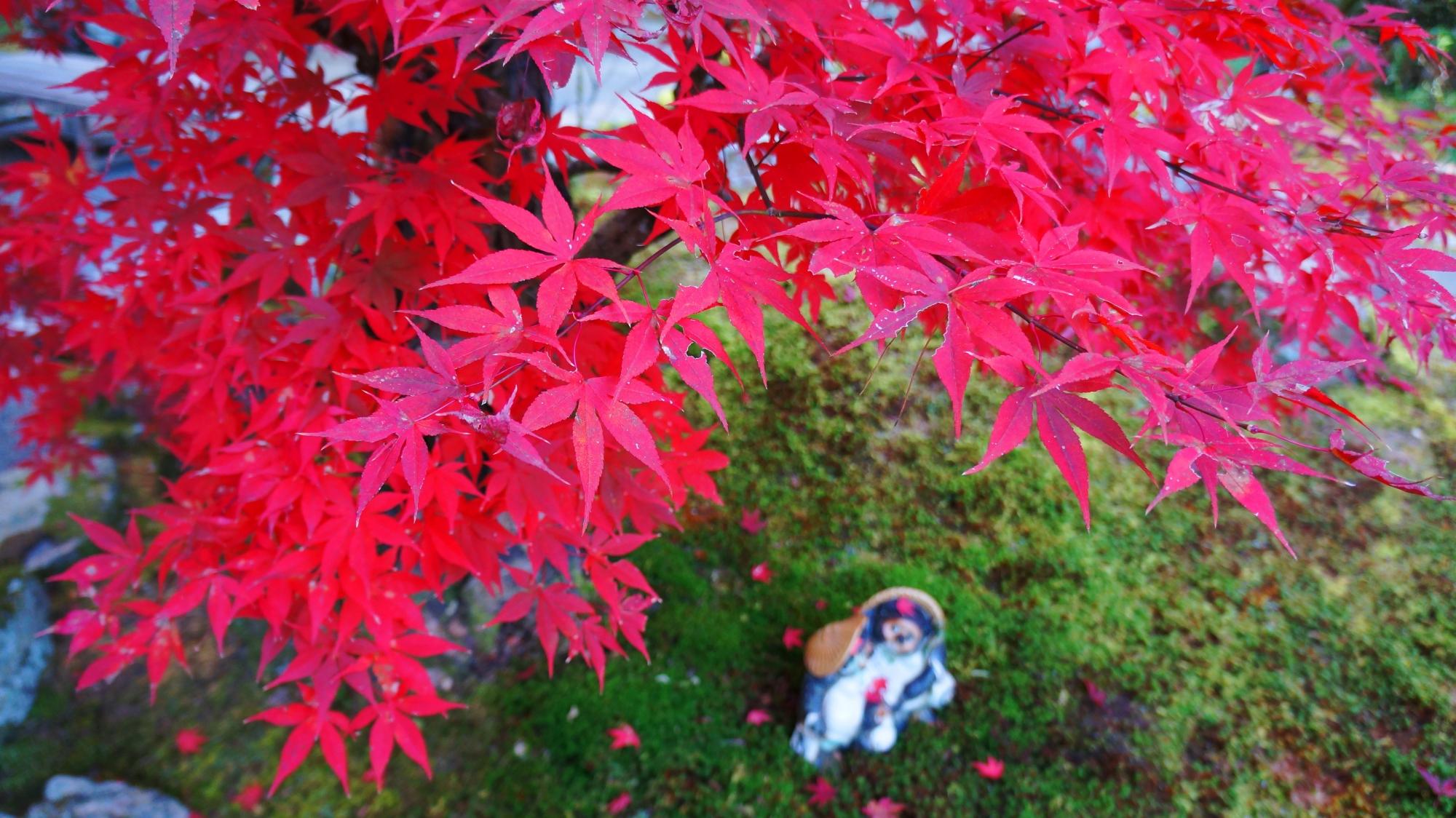 最勝院の狸の上で秋風に揺らめく艶やかな赤い紅葉