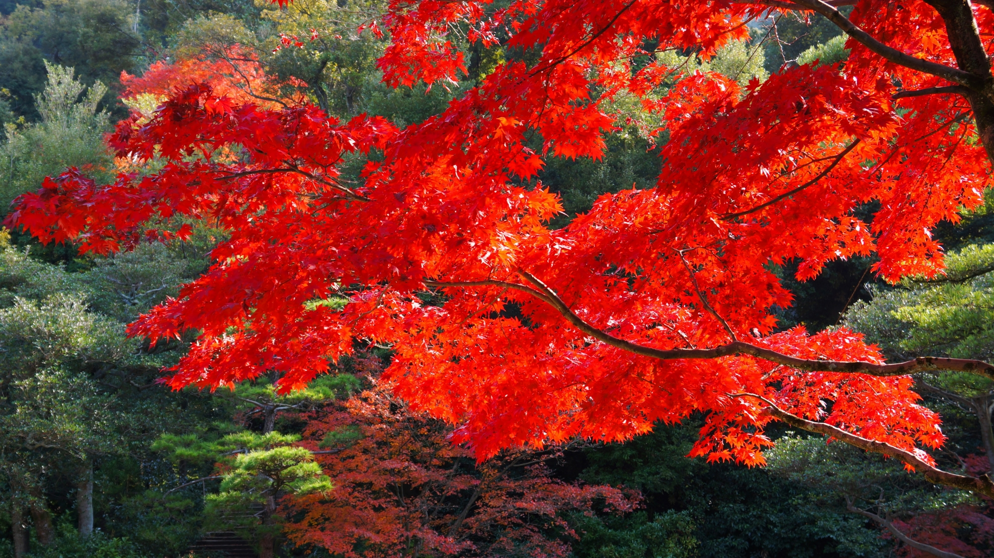深い緑の中で光るような真赤に色づく圧倒的な紅葉